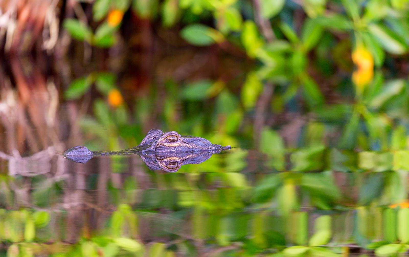 Alligator Reflection - Everglades