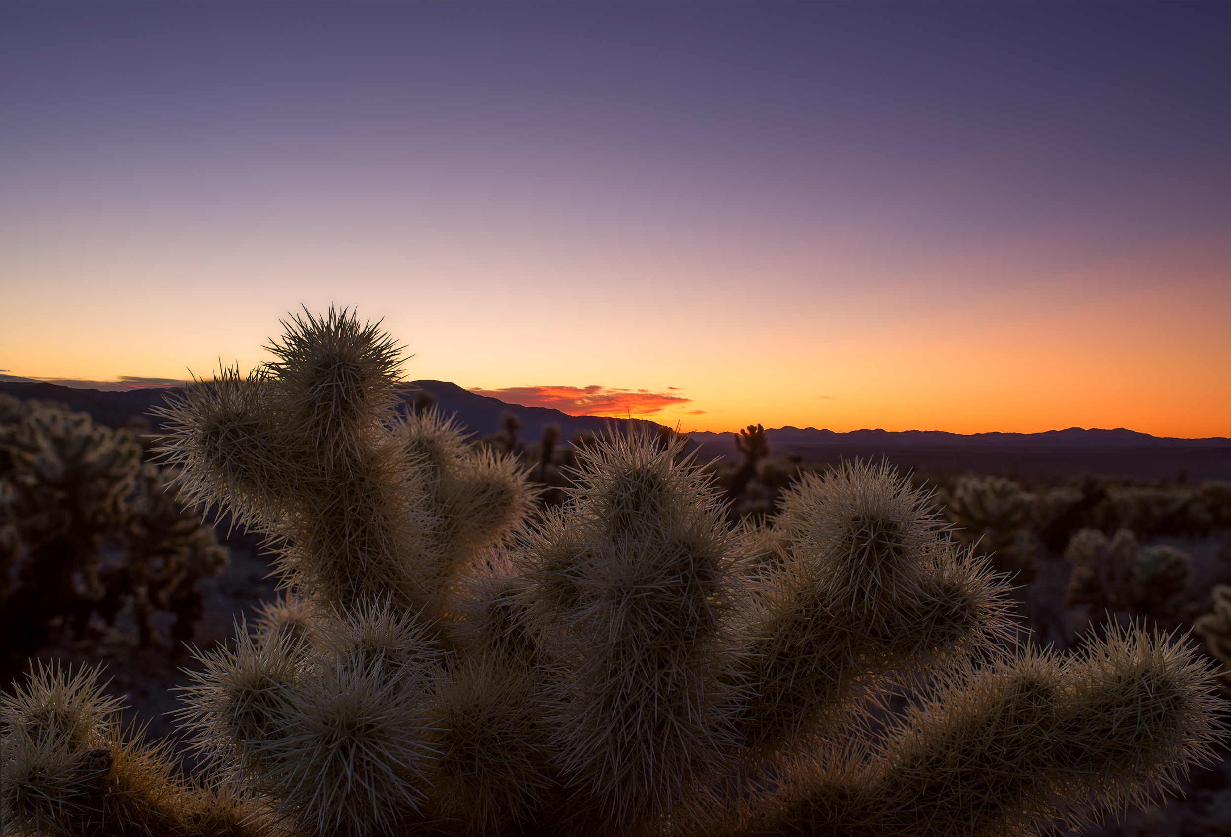 Cholla Catcus Garden before sunrise.