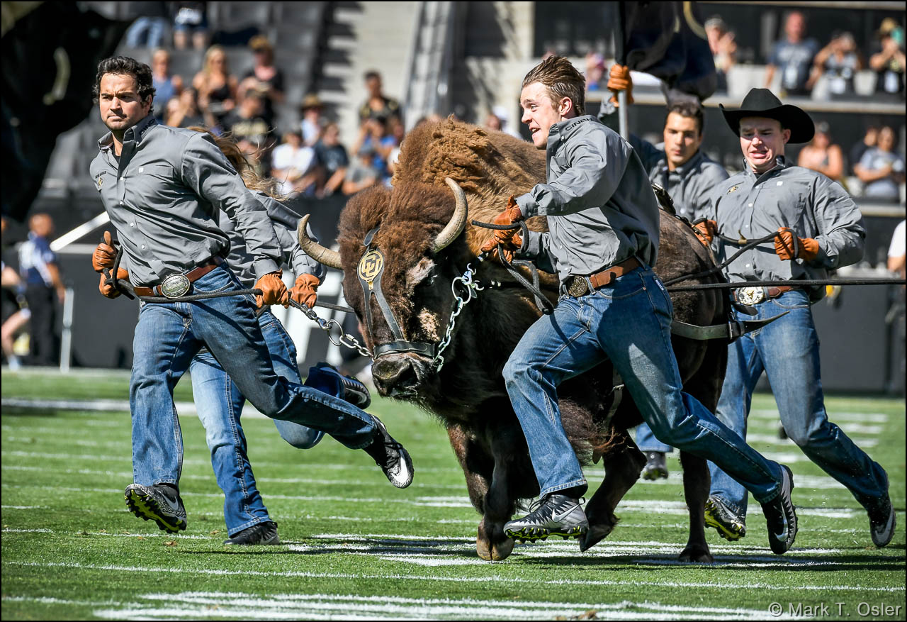 In keeping with CU tradition, Ralphie (the school's buffalo mascot) is run onto and around the field before the start of the football game.