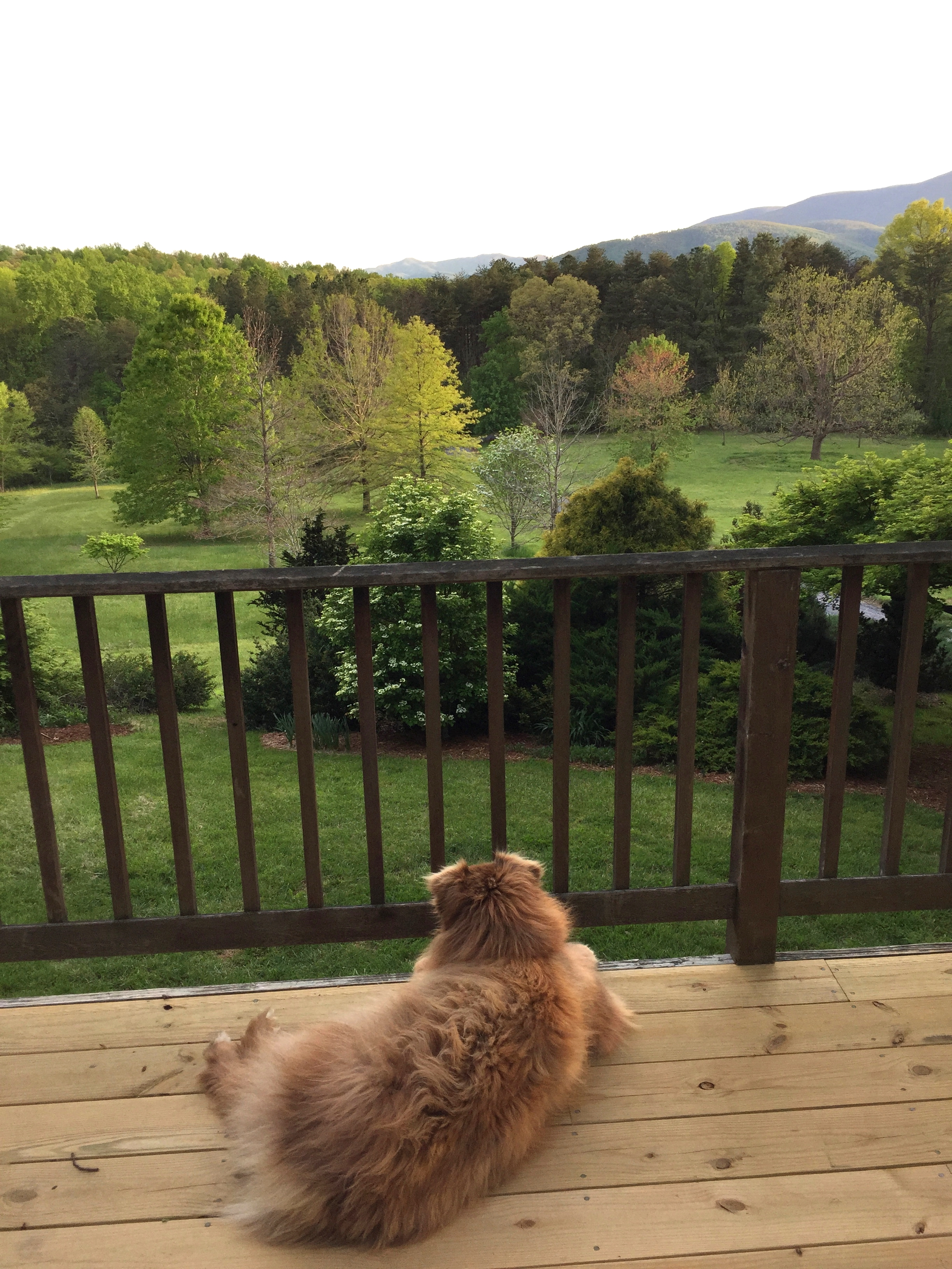 Mira, the Shop Dog, watching over her Princess-dom in the May evening light.