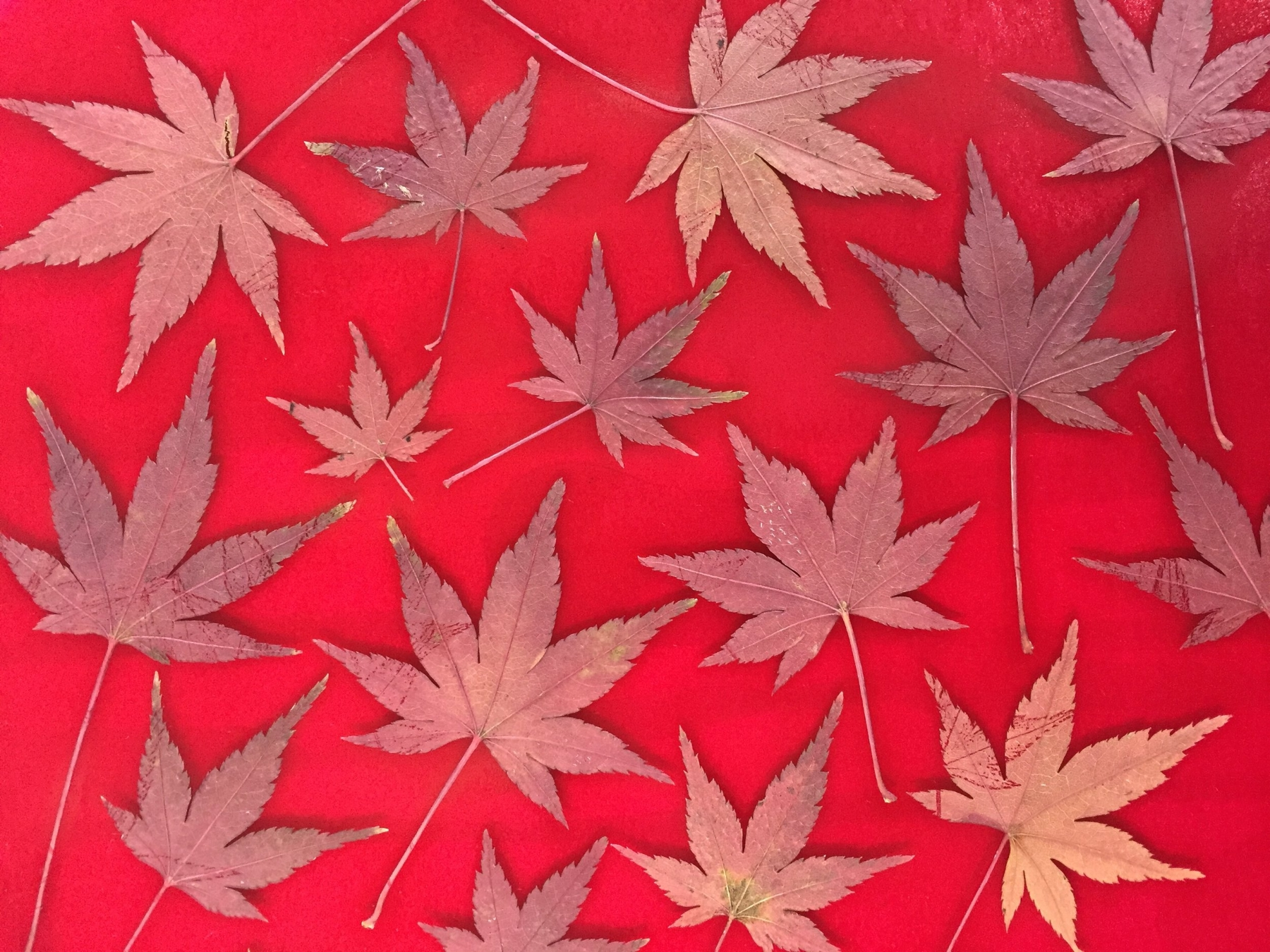 After rolling out the ink (which looks brighter & redder here than it prints), I placed the leaves onto the ink plate. Next, I placed a piece of thin copy paper over the leaves and carefully rubbed over them with my hand, transferring the ink to the leaves.