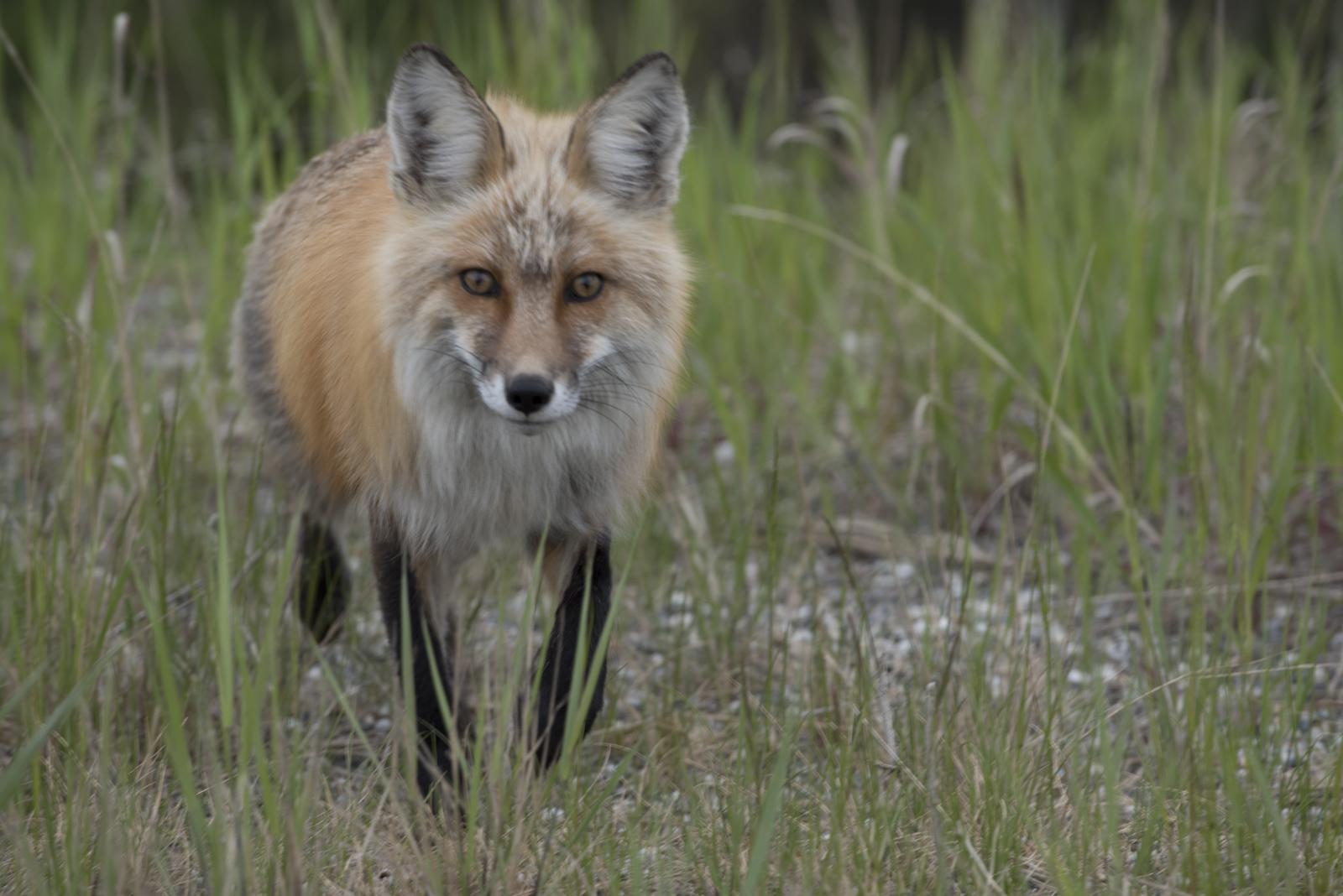 Fox off the Alaskan Highway.