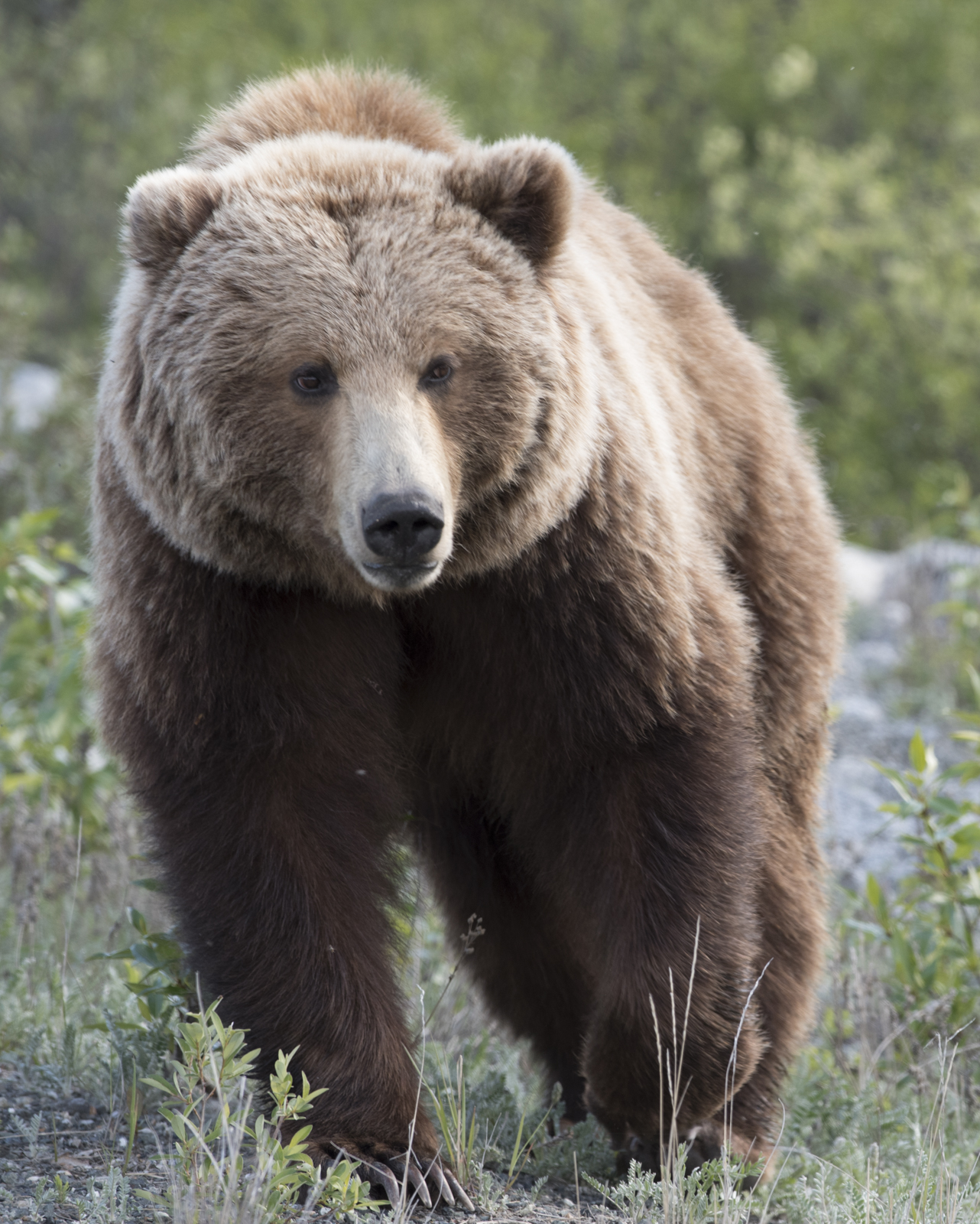 Grizzly Bear off the Alaskan Highway.