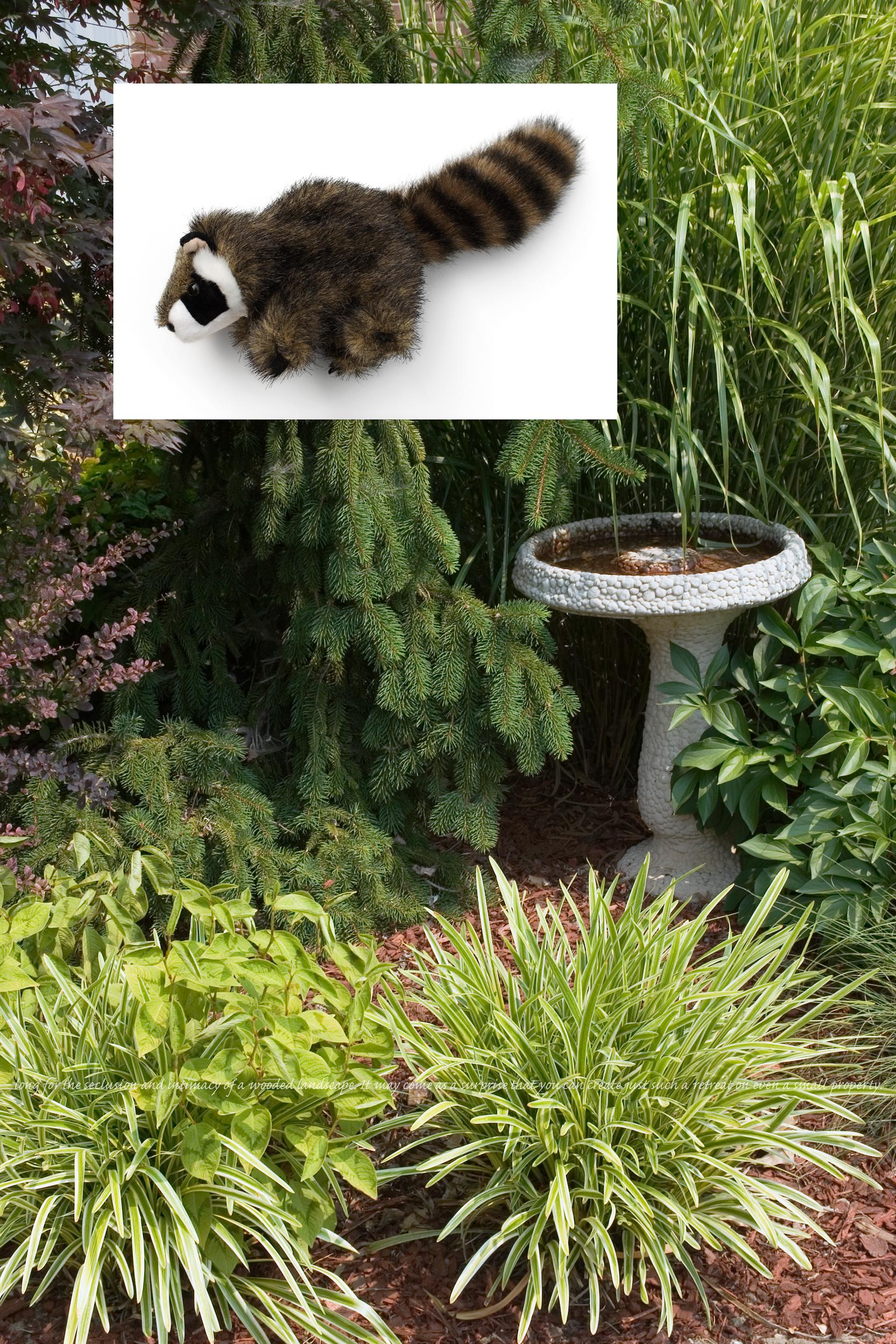 Flora & Fauna: Raccoon