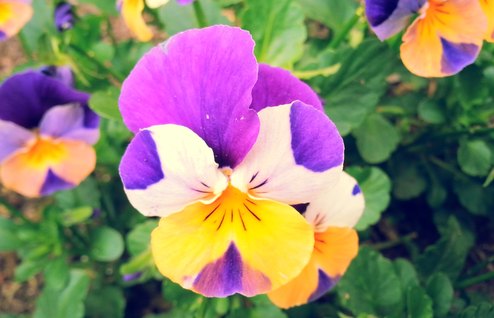 One Life pansy