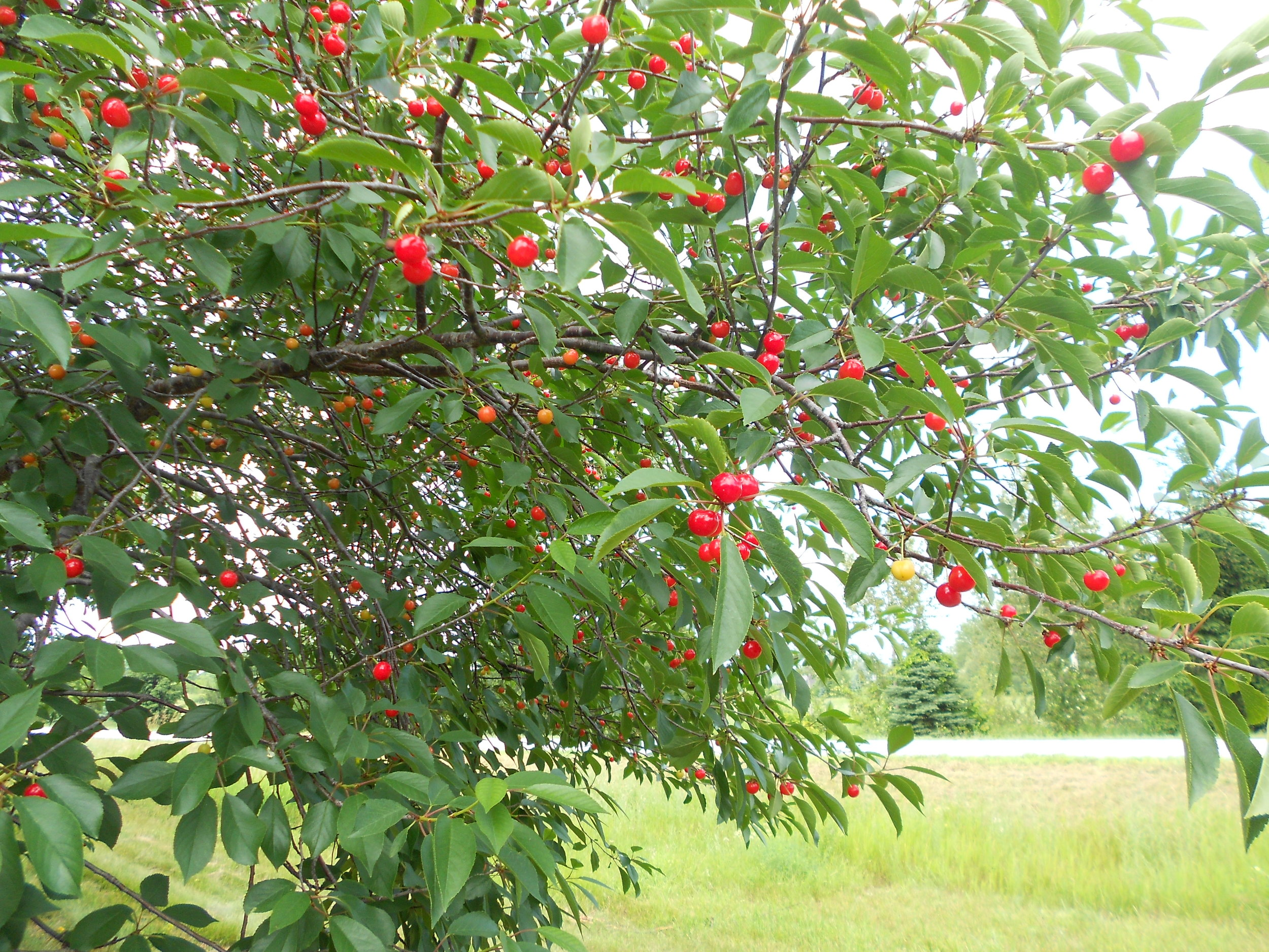 Must not forget to take a look at those lovely orchards. It's cherry picking time in Door County!