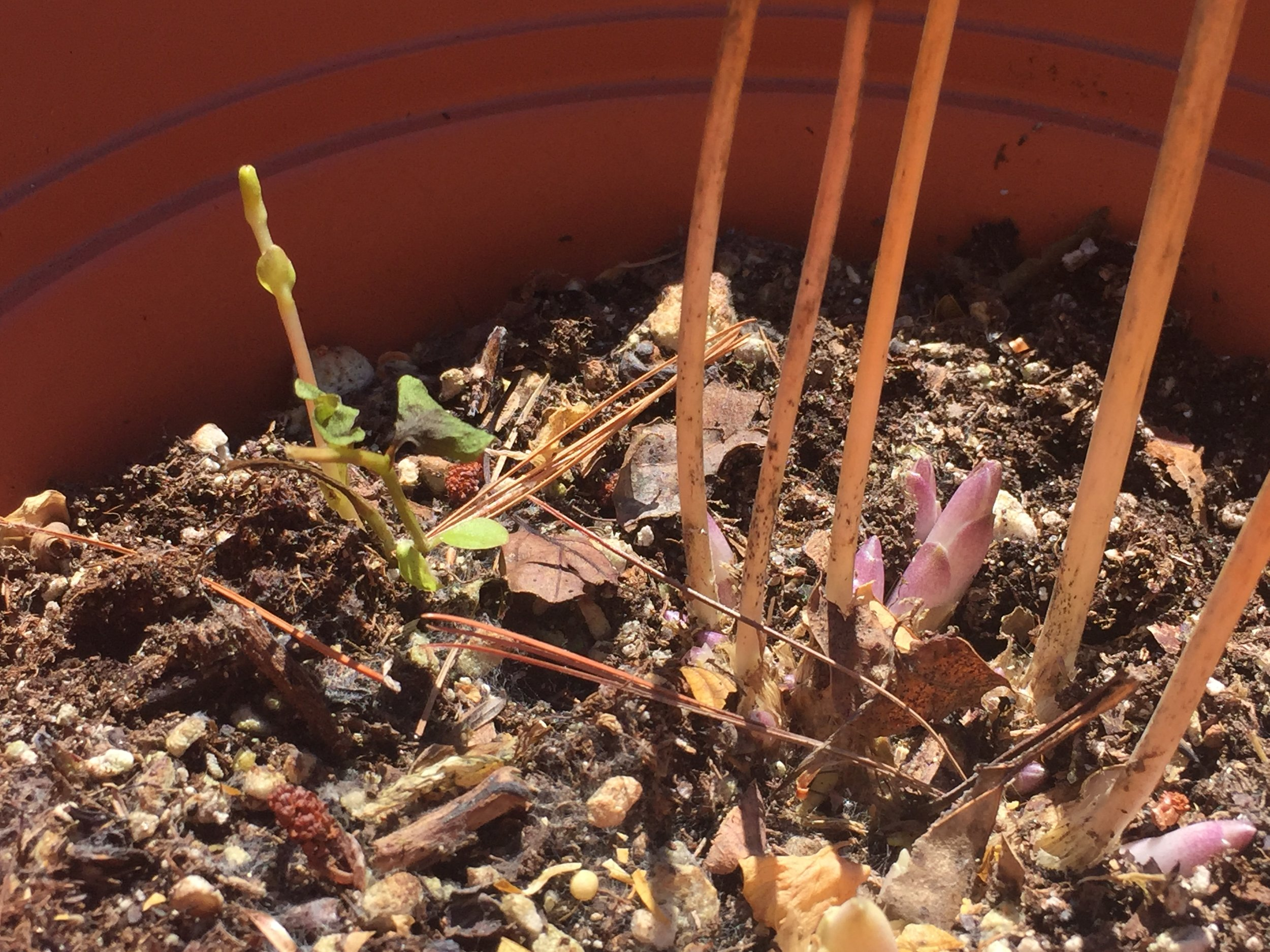 April 19 - From the garage: Some potted perennials are starting.