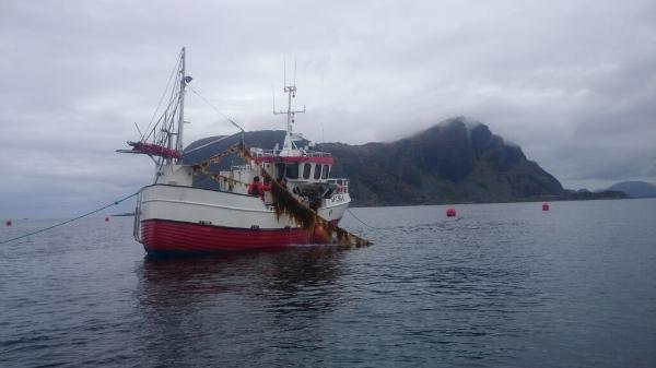 Den lokale bedrifta  Seaweed AS ,høstar her tare frå eit taredyrkingsanlegg levert av Værlandet Fiskeredskap AS.