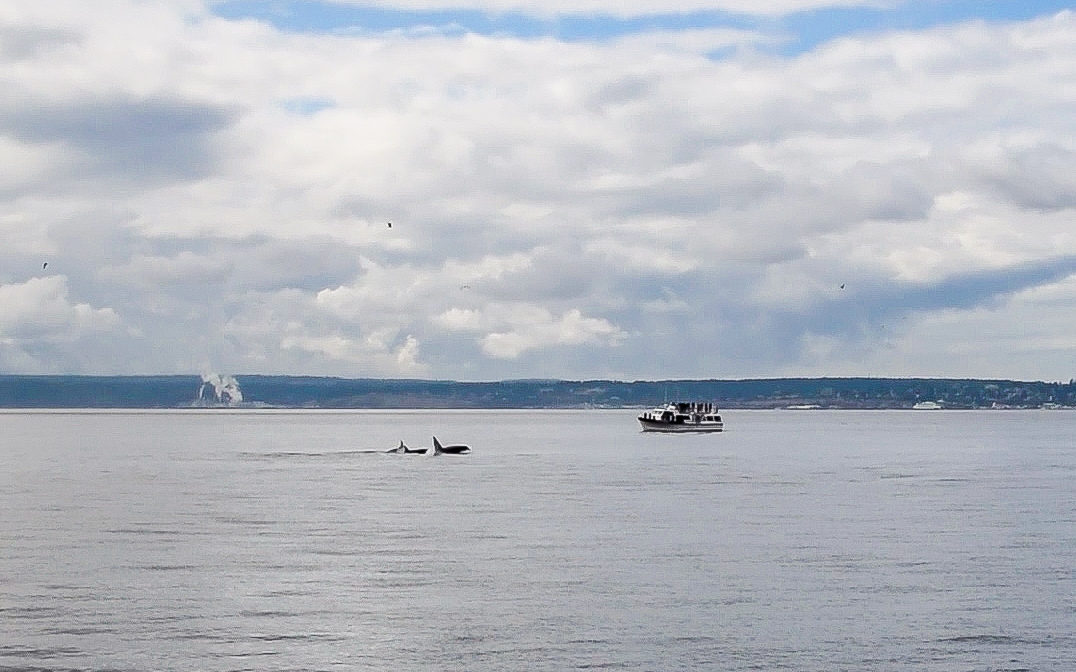 Whale watching with Prince of Whales, near the San Juan Islands. Departing from Vancouver, BC.