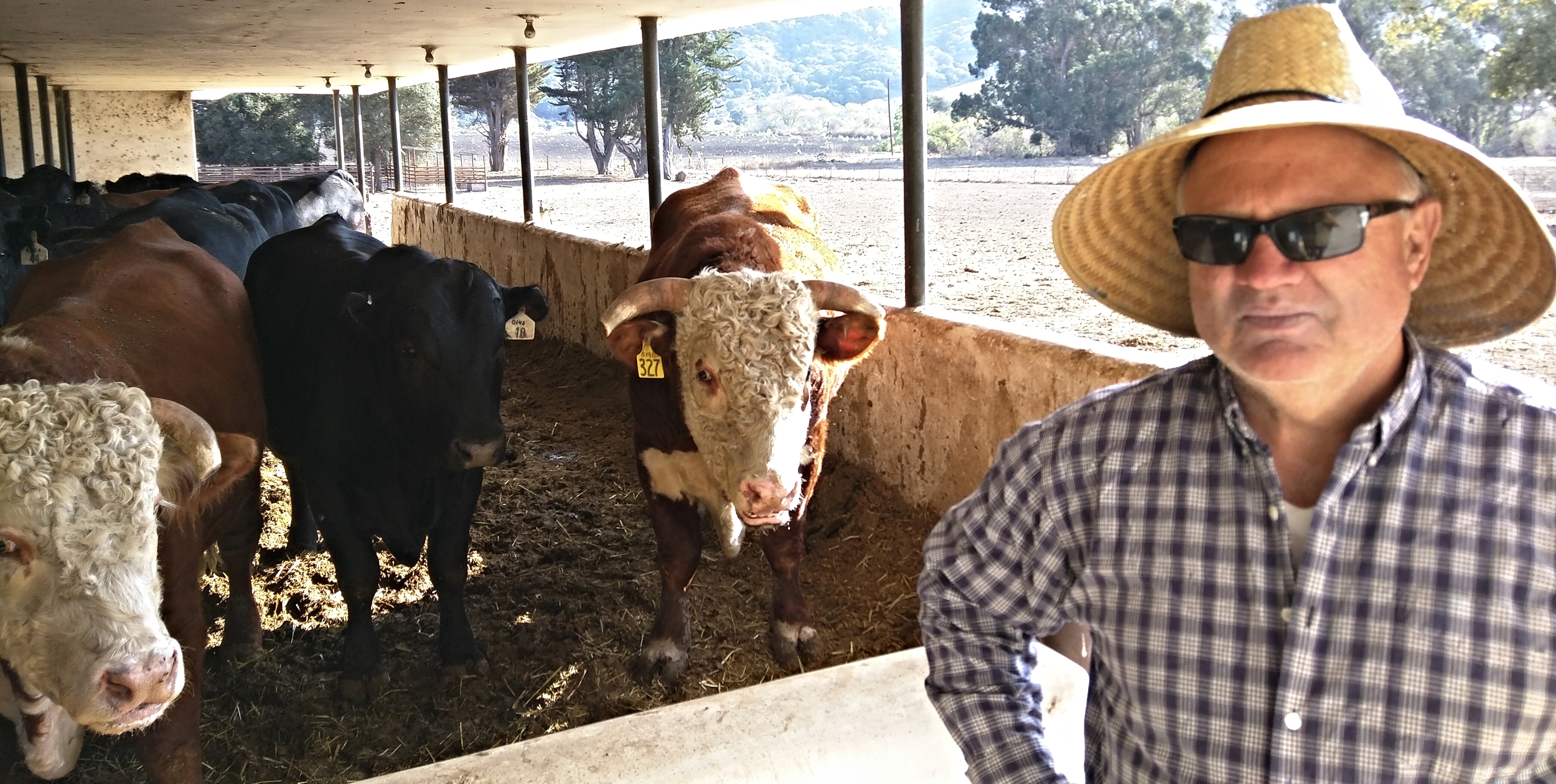 Hank Pitcher with the bulls at Rancho San Julian, October 2015