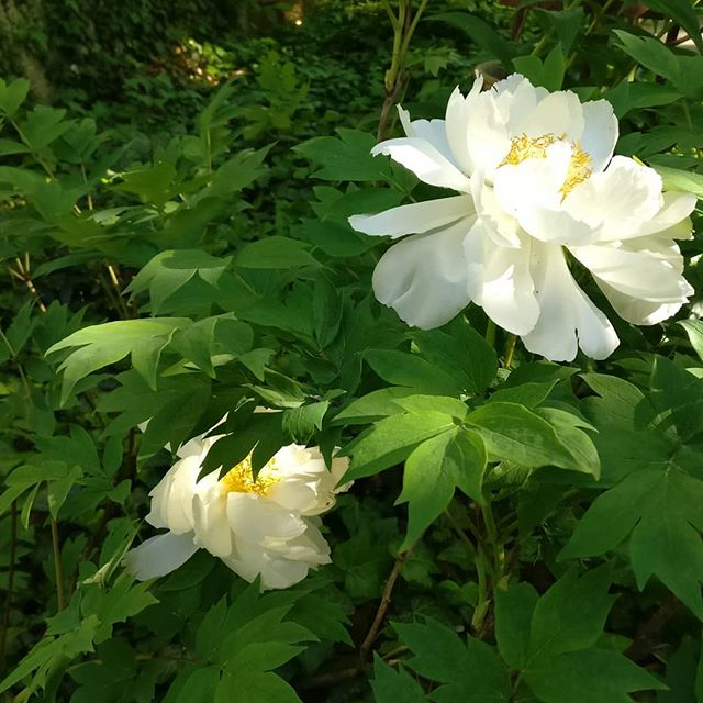 Tree peonies are a bit early this year but the cool nights have allowed them several days of bloom. Five big white blossoms this year, such a gift. #lovemygarden #healinggarden #beautyiseverywhere #lovelife #gardensofig