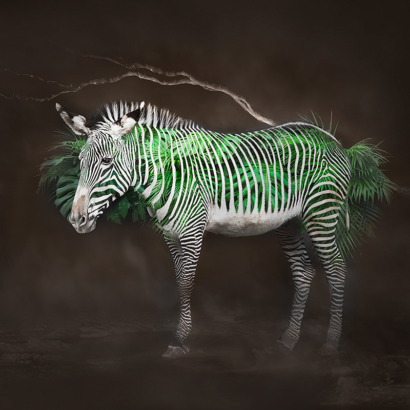 Zebra2(C)ErikoKaniwa.jpg