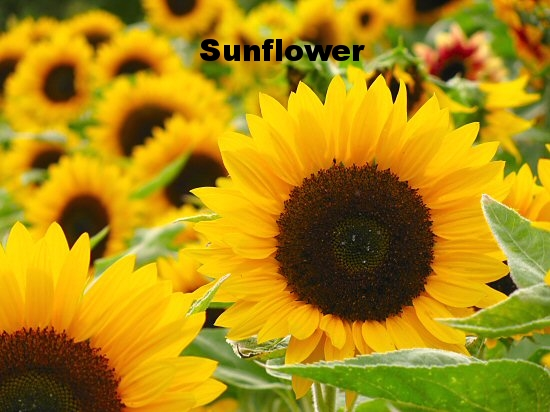 sunflowers (1).jpg