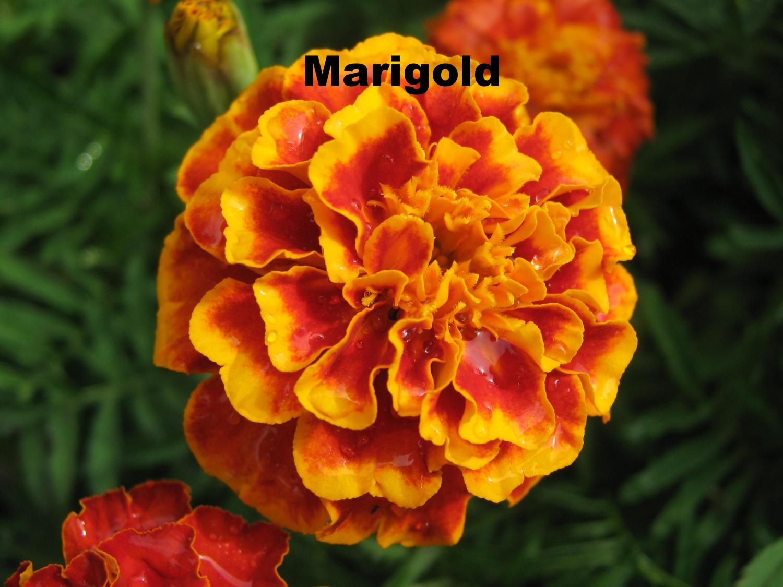 marigold-flower-1-2592x1944.jpg