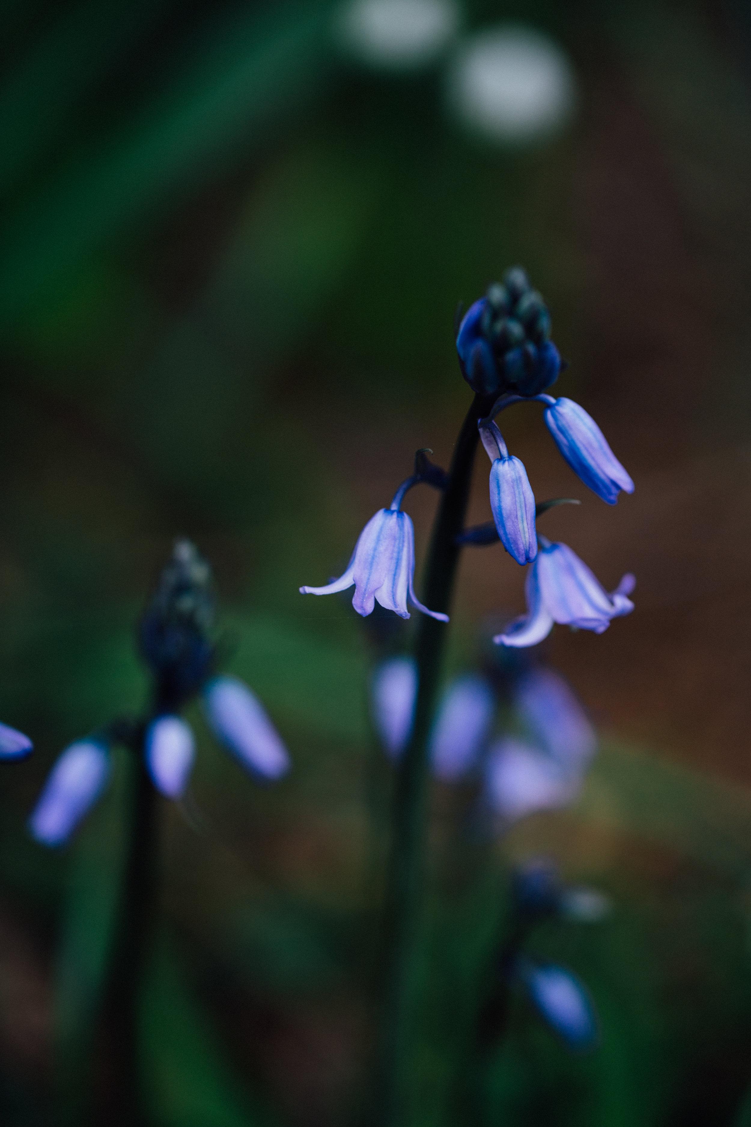Bluebell / hyacinth