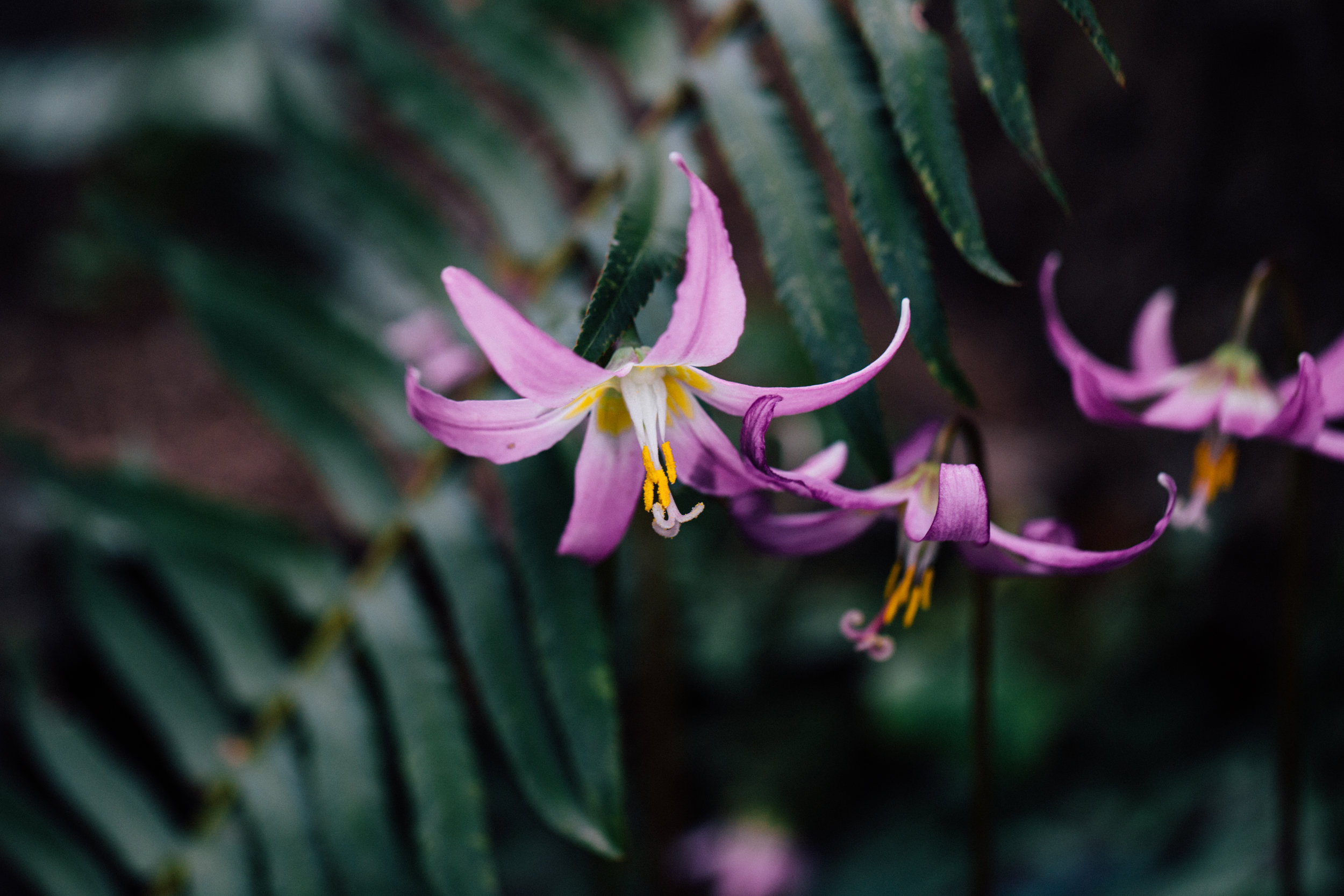 Erythronium / asian fawn lily