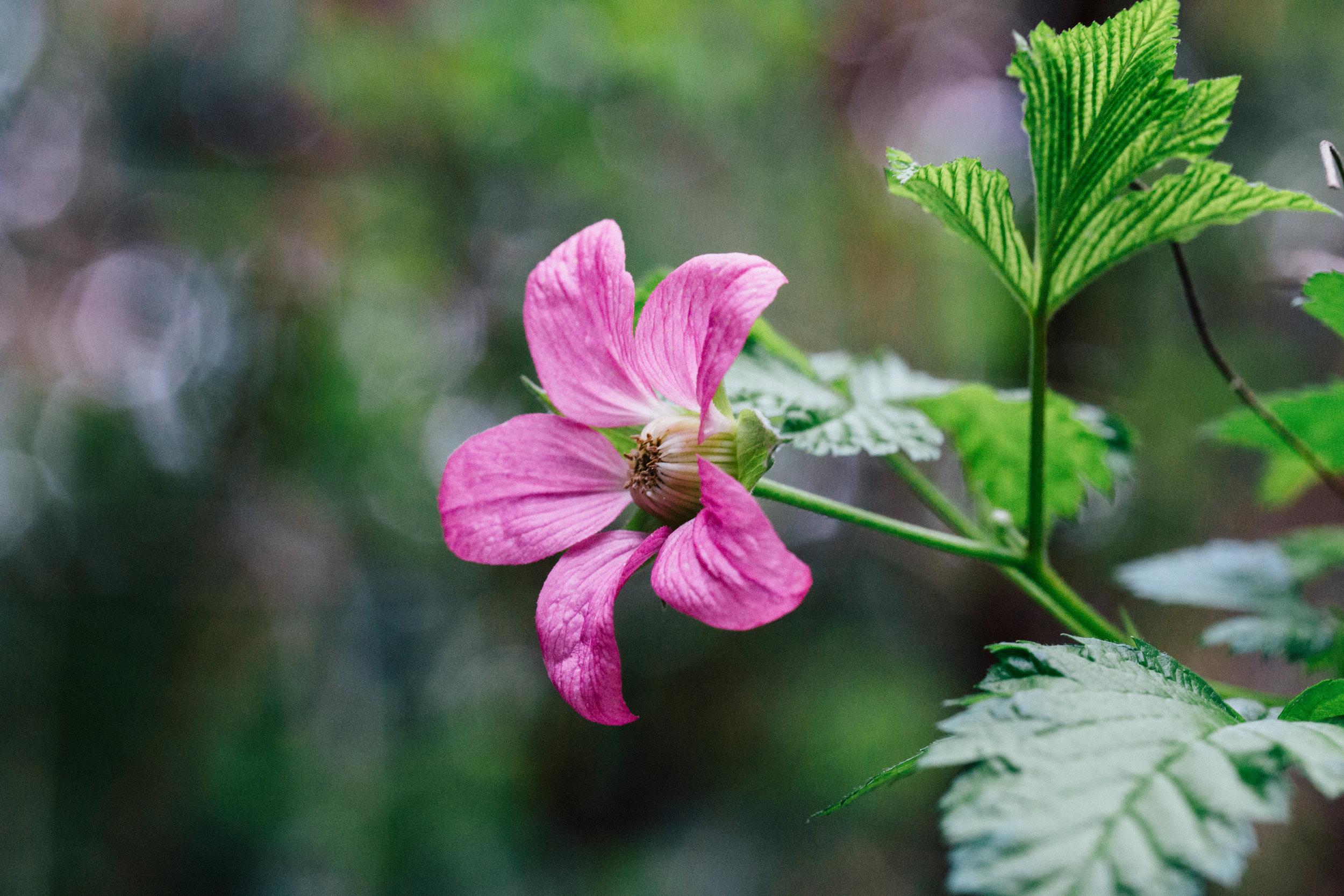 Rubus / salmonberry