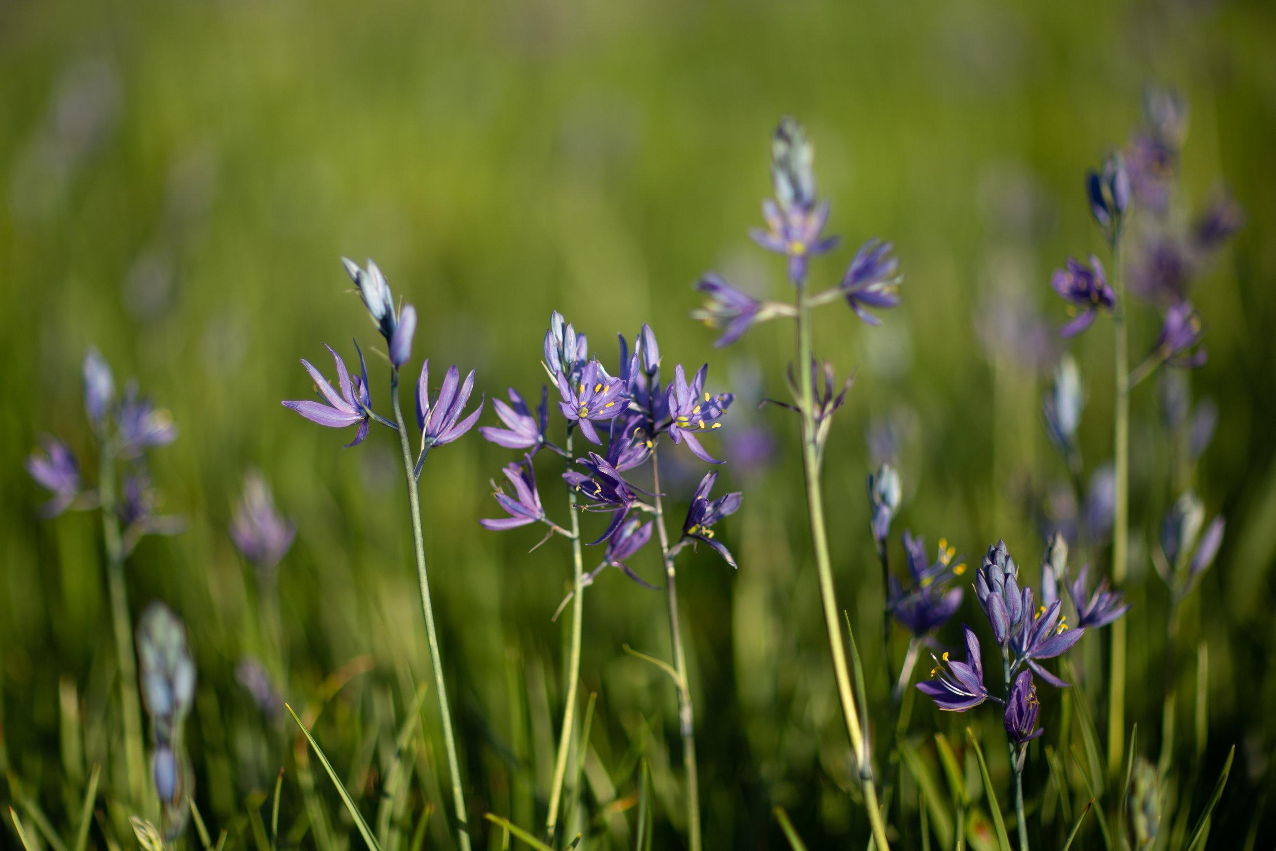 Camas lilies