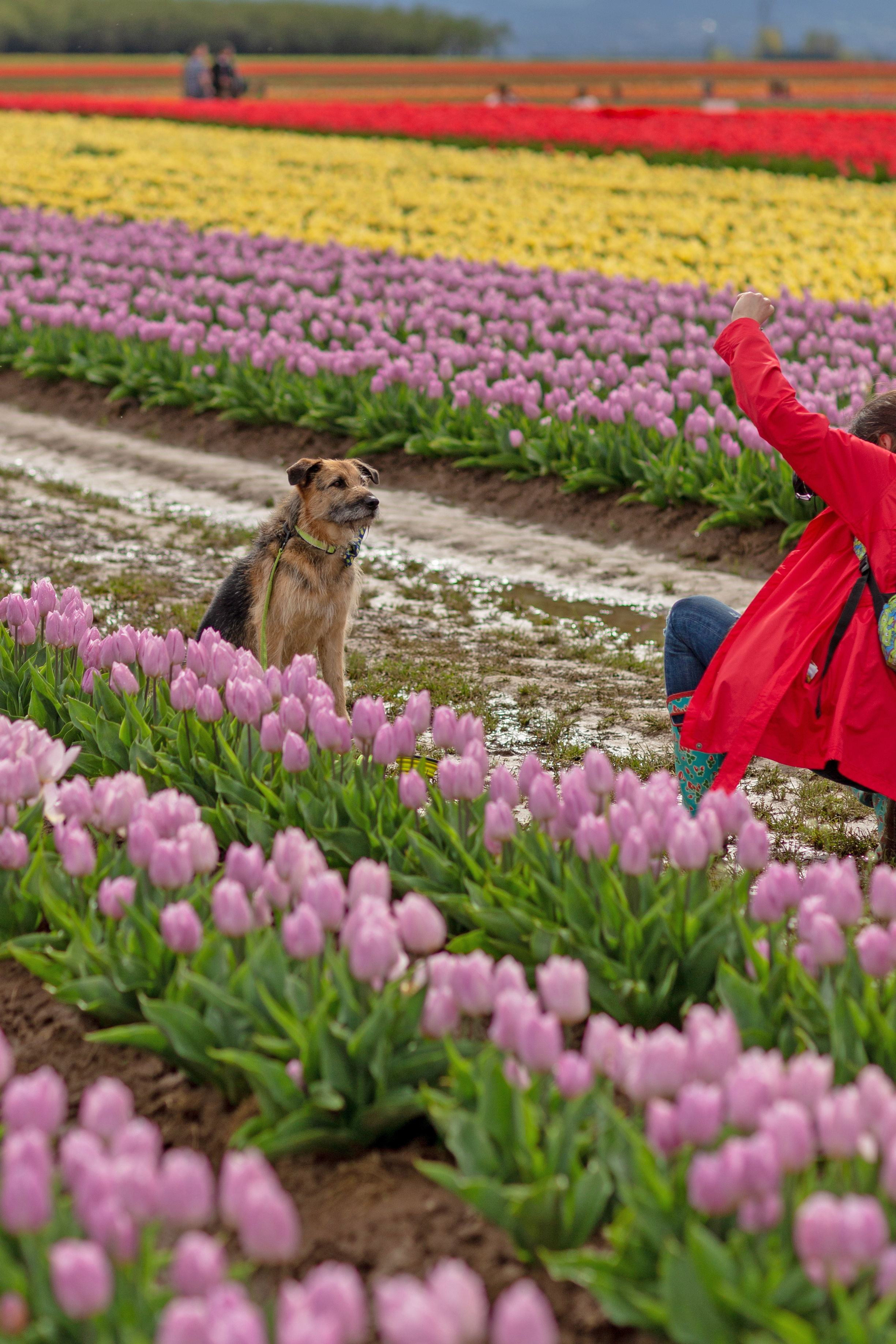 A dog poses for its owner in the tulip fields
