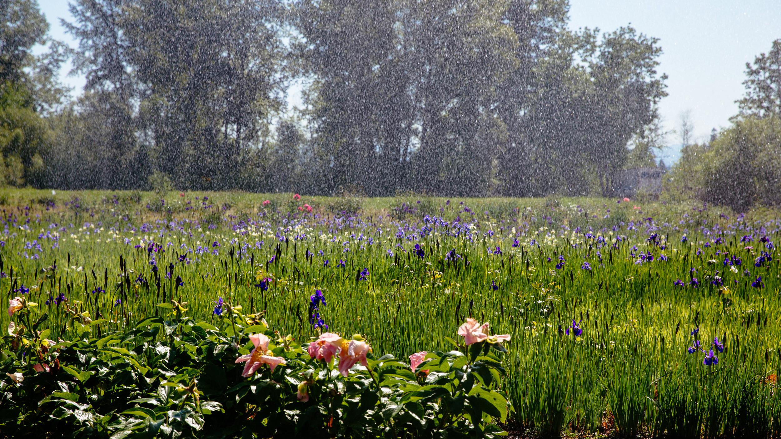 "Sprinkler ""raining"" on an iris field"