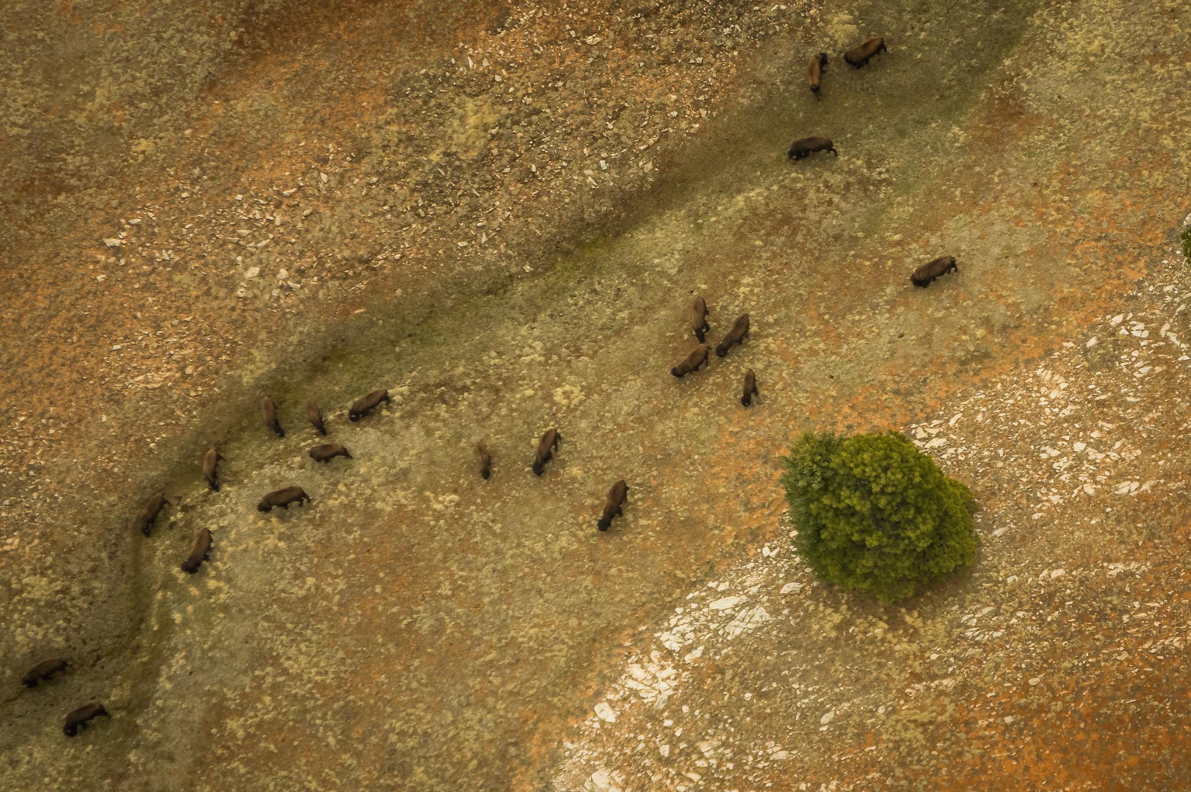Die ersten und einzigen freilebenden Bisons, die wir gesehen haben.