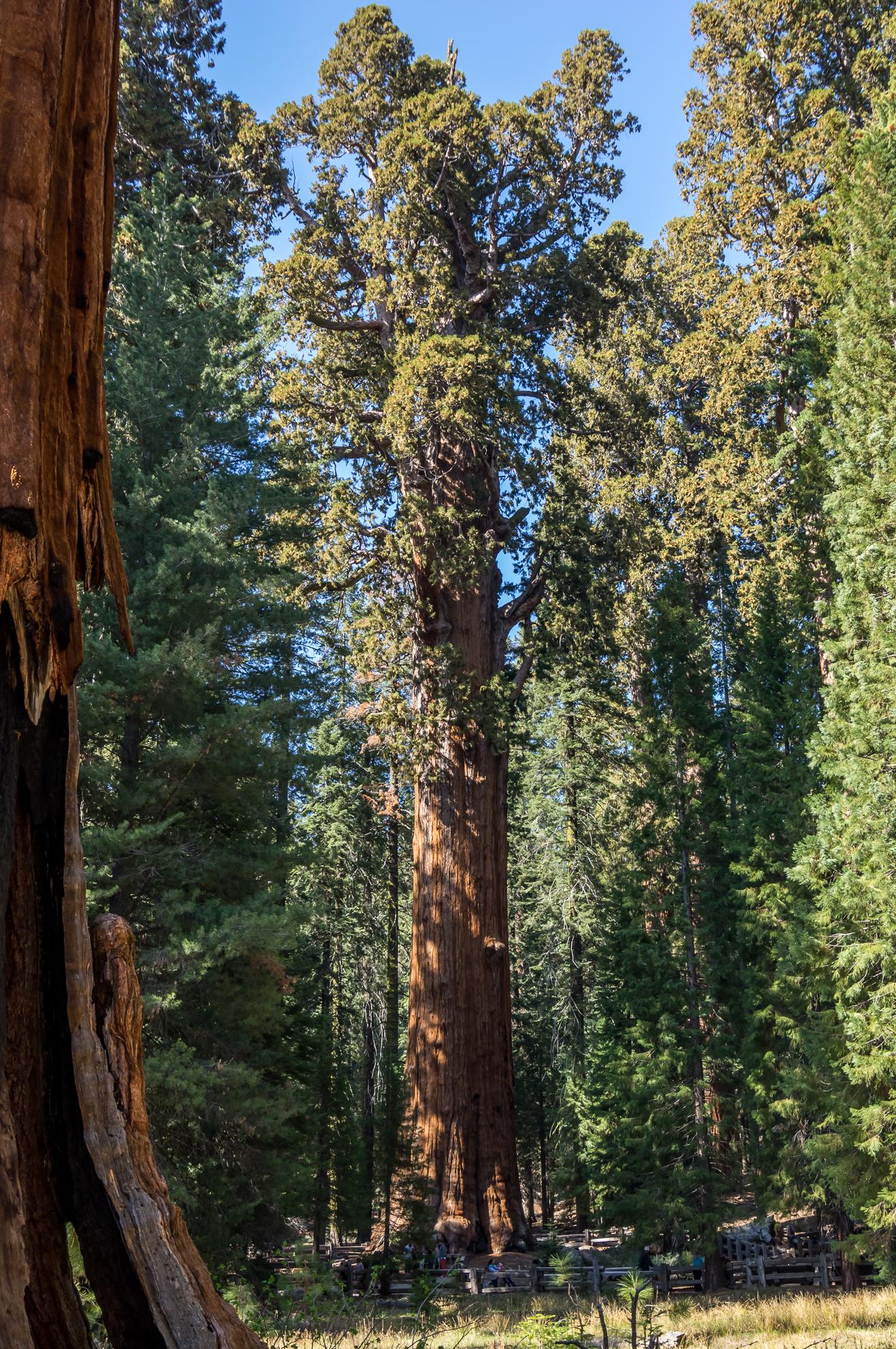 Der General Sherman. Der Größte (nicht höchste) Baum der Welt. Zum Vergleich siehe die Menschen an der Basis.