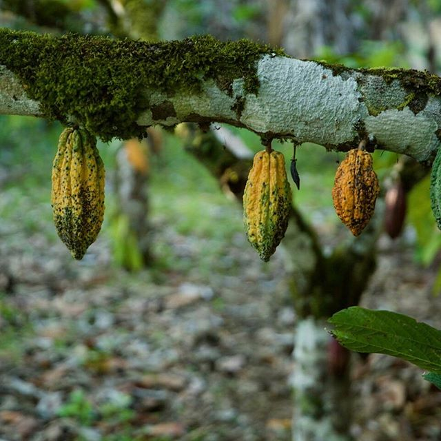 Insect infestations and disease can be a huge problem for cacao farmers and can cause a significant dent in production. This small yellow critter leaves black marks on the pods and makes many of the seeds inside unusable.