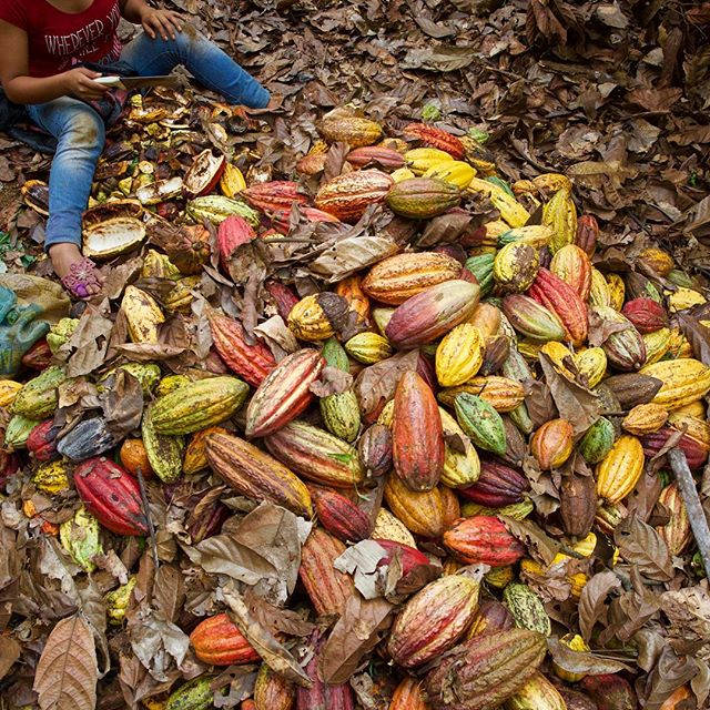 Harvesting the cacao pods from the trees is only the first stage. These pods are waiting to be deseeded and taken to a fermentation facility to prepare them for the craft chocolate market.