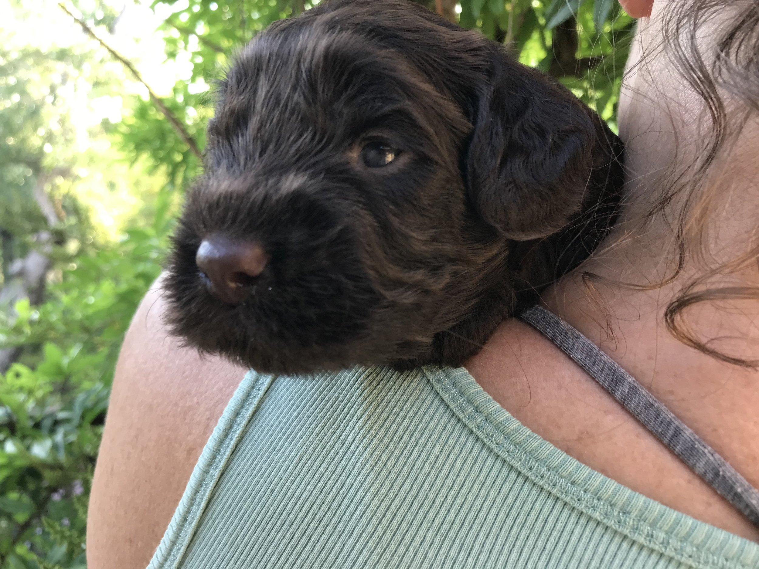 Charlie - Green collar  Chocolate boy