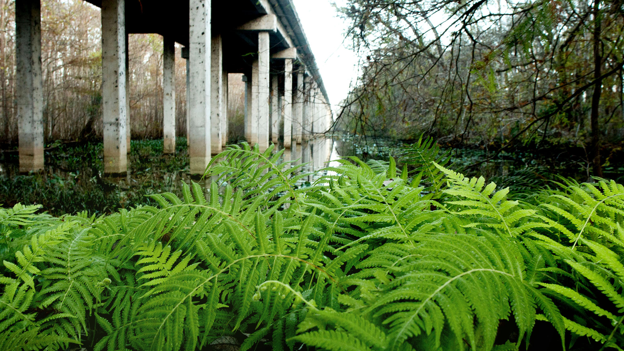 BearViewferns.jpg