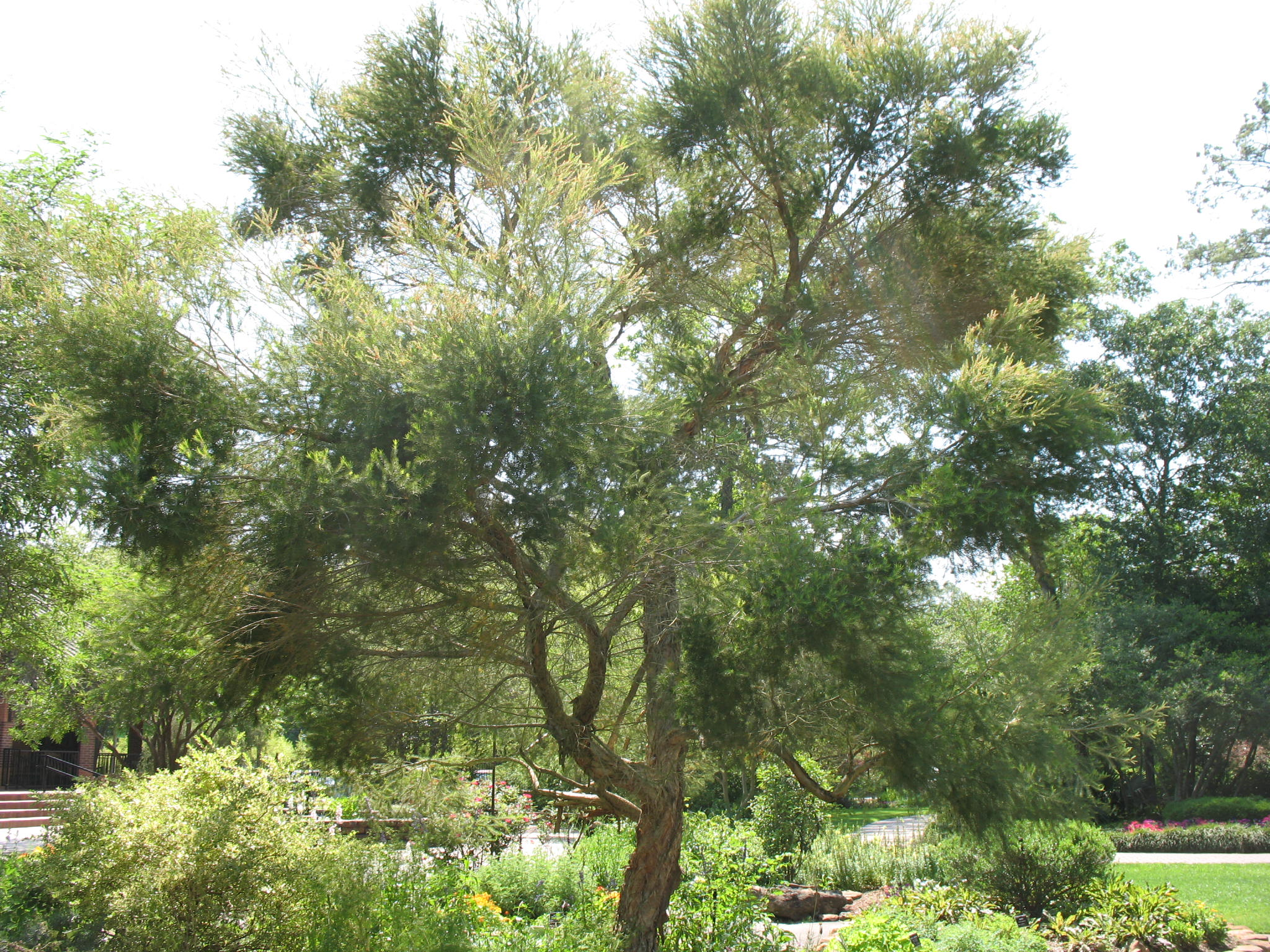 Why tea tree oil is a must-have in your natural health and beauty stash. Random Suds Blog | Soapworks Studio