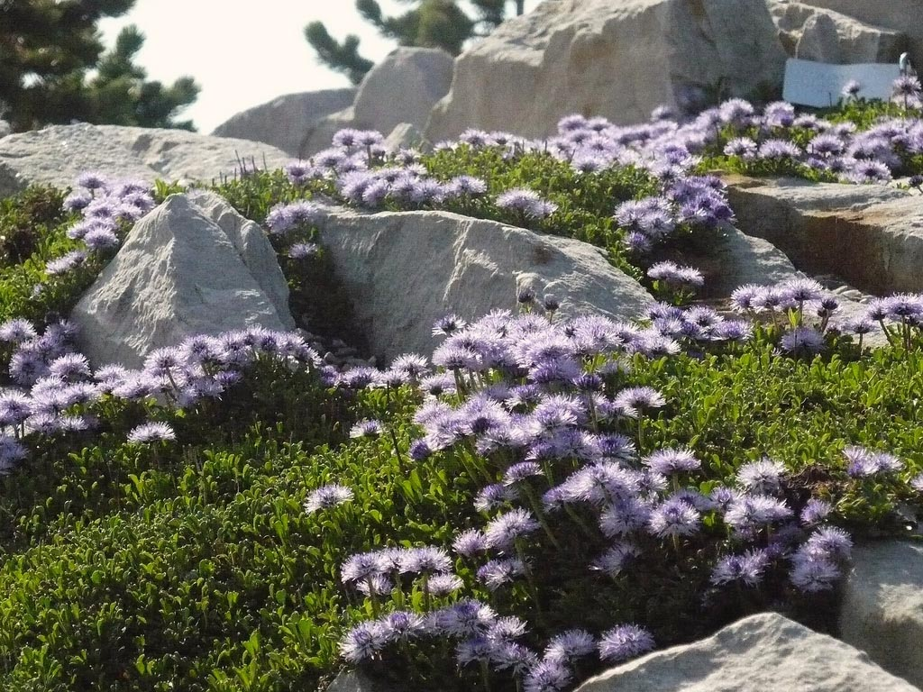 Koulenka srdcolistá ( Globularia cordifolia ) se hodí na výsušné chudší půdy. (zdroj: http://albamar.pl/)