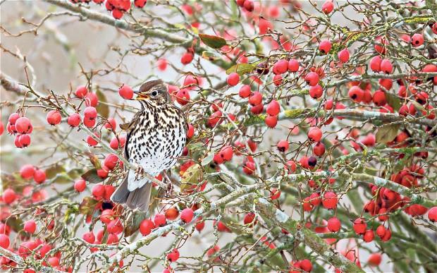 Zahrada dokáže být poutavá i v zimě, a to nejen svými barevnými plody, ale i jejich strávníky, které máme možnost pozorovat. (zdroj: Telegraph co.uk Foto: Alamy)