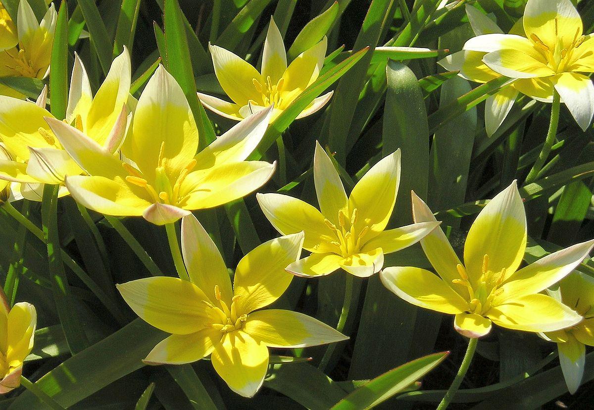 Tabulka botanických tulipánů - Tabulka botanických cibulovin Vám pomůže zorientovat se mezi druhy, které nejsou třeba vyndavat na zimu. Pozor, je třeba dbát na správné stanoviště. Obecně tulipány sušší půdy, narcisy snesou vlhké půdy.