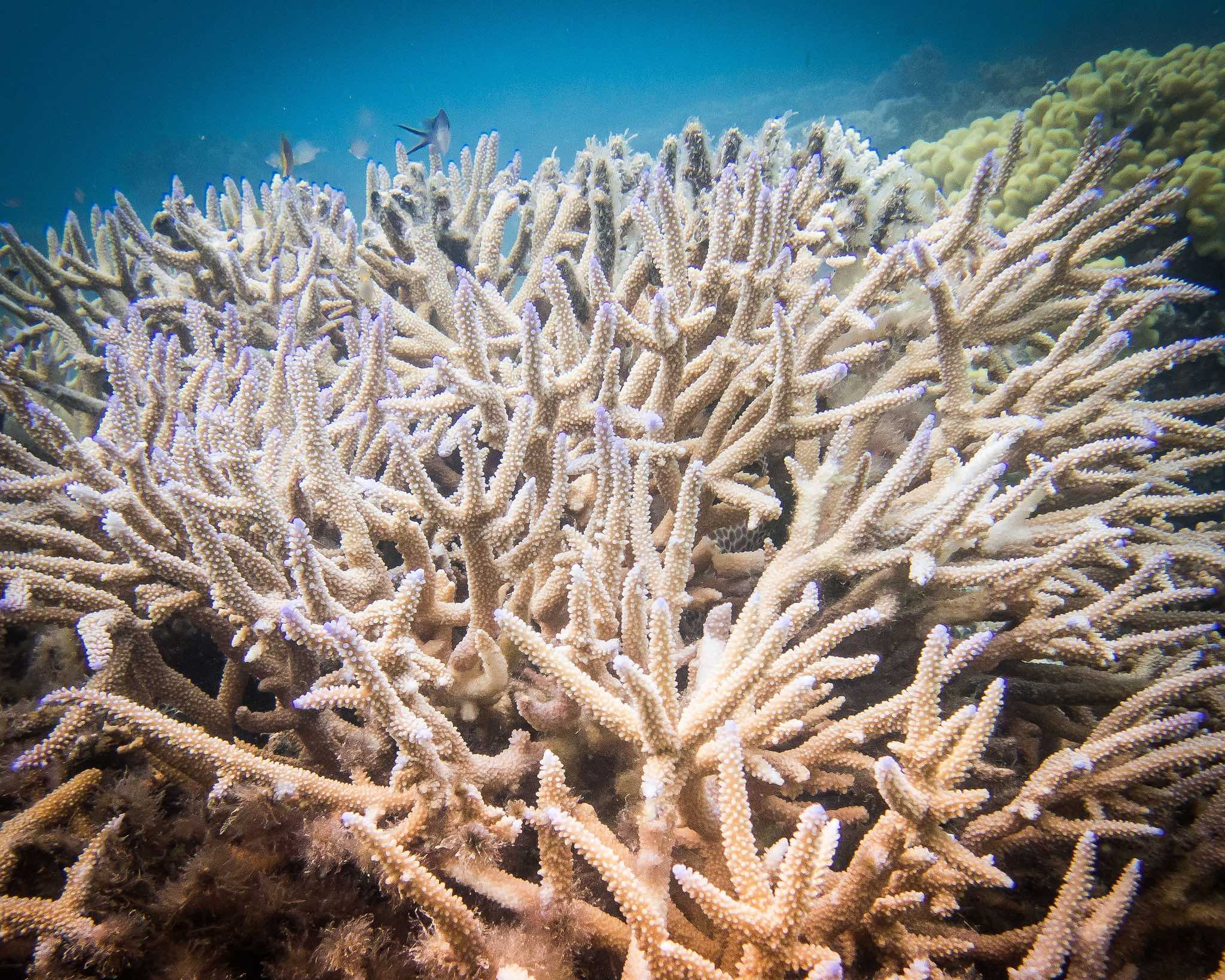 Acropora  corals are key framework corals that form the backbone of the entire reef ecosystem, shown here near Leleuvia Islands, Fiji. Photo: Emily Darling