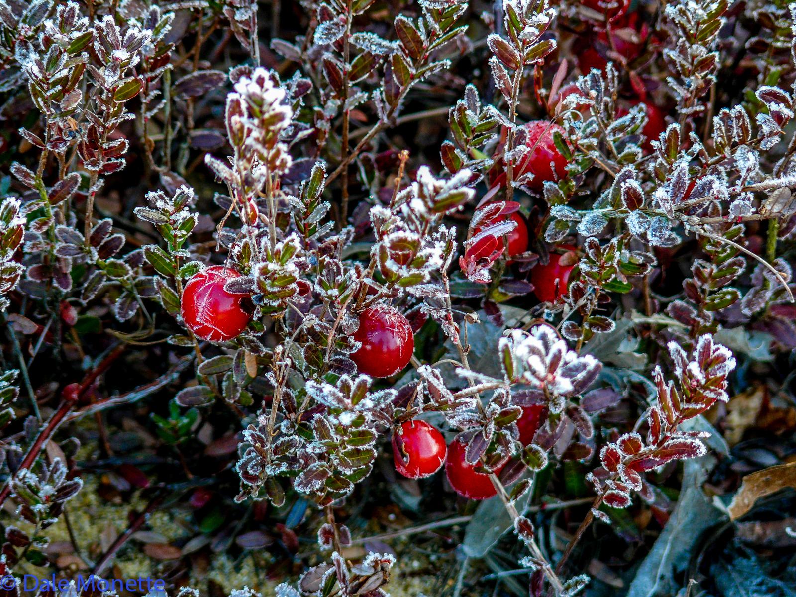Wild cranberrys