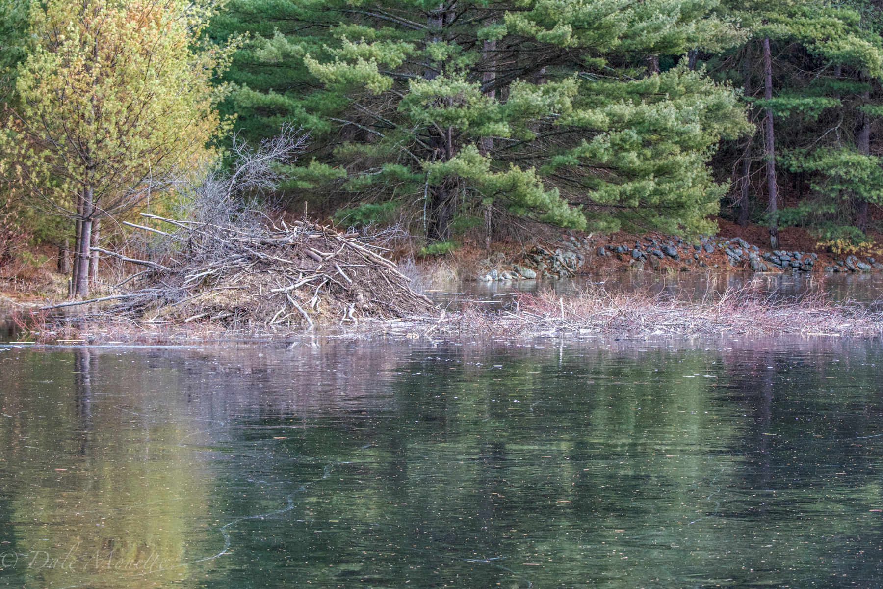 These beavers have a great twig cache built up for food through the winter.