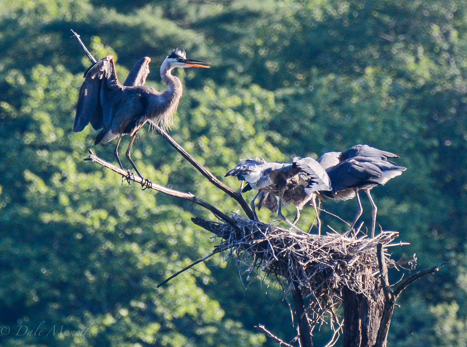 Great blue heron chicks fledge in early to mid August