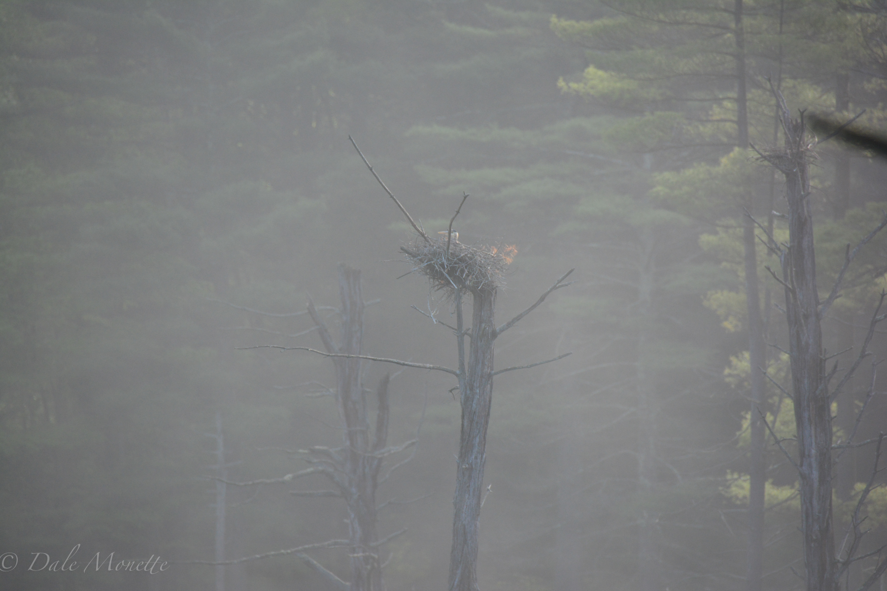 Early incubation of great blue heron eggs as the adult sits on the eggs.