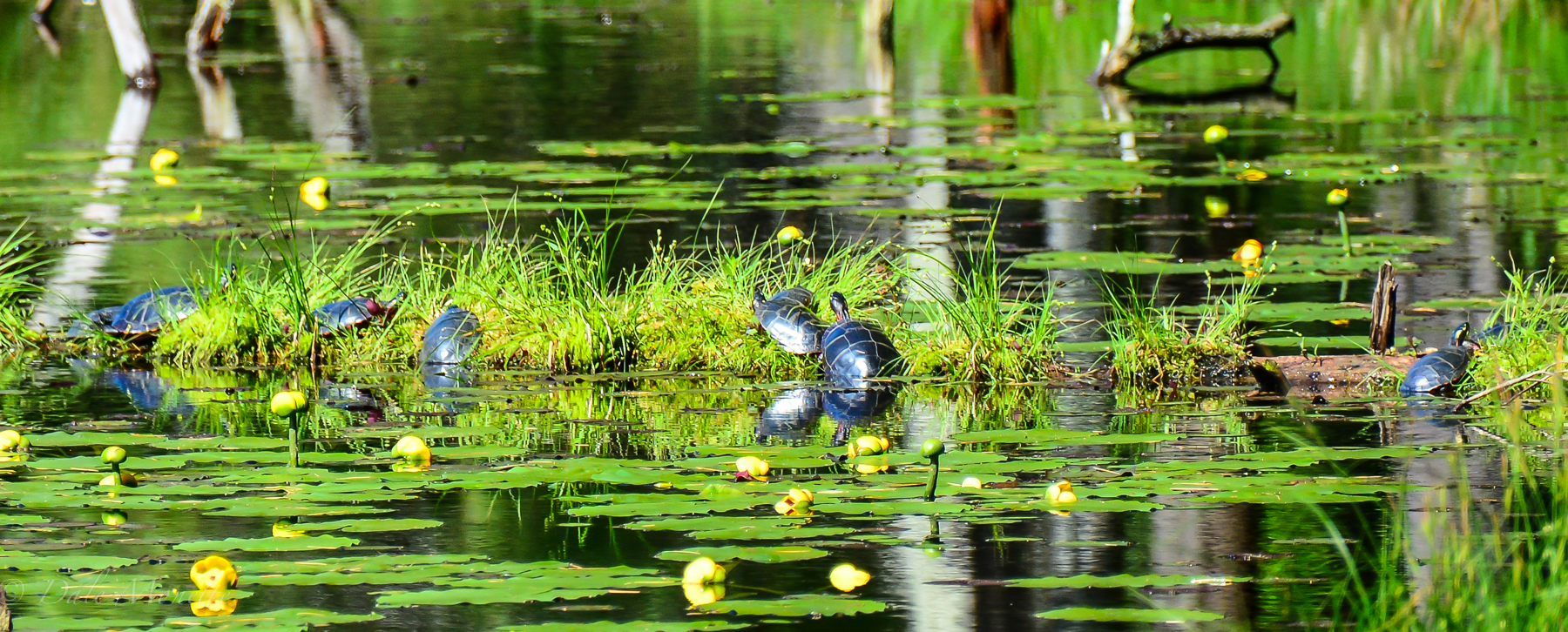 The painted turtle gang…….  very common through out the watershed