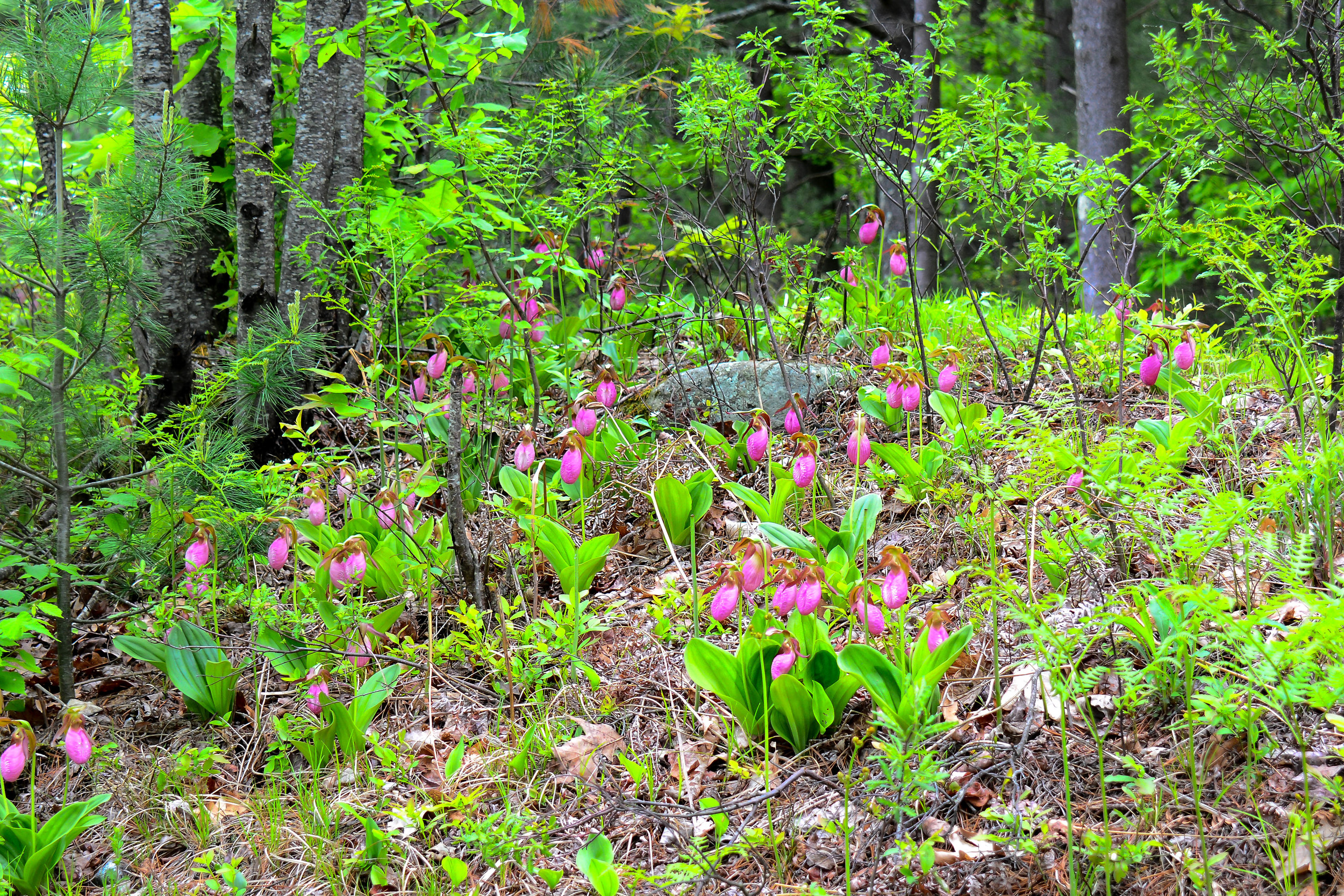 Late spring / early summer lady slippers.