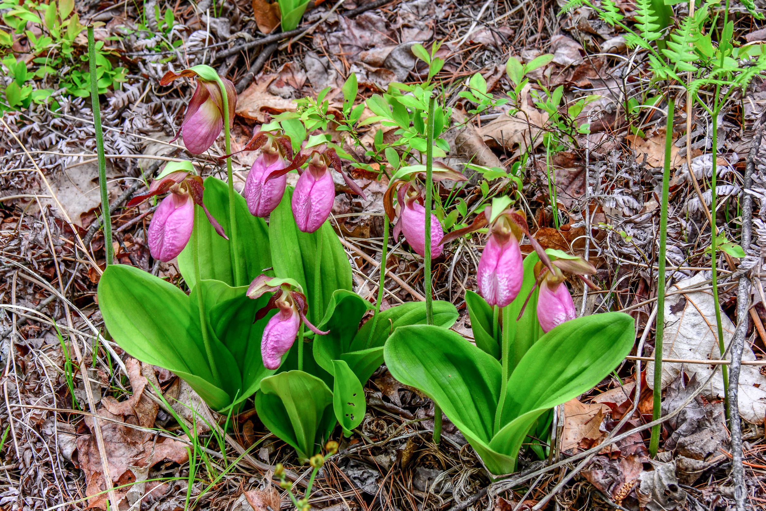 Lady slippers have made a huge comeback at Quabbin since the deer hunt was enacted in the early 1990's.