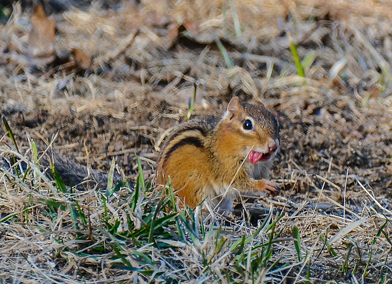 Chipmunks are coming out of their burrows and grabbing anything they can for food.