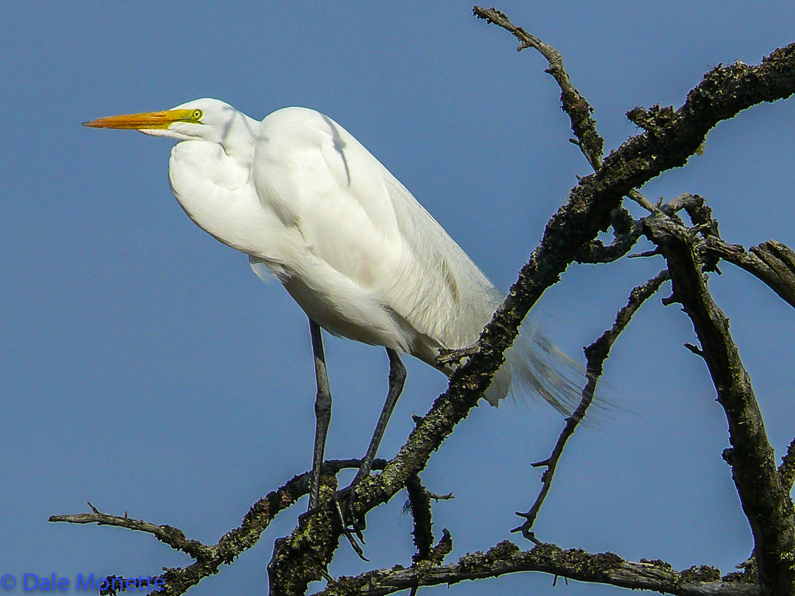 Great egrets are seen in late August as young ones roam about. They do not nest at the Quabbin.
