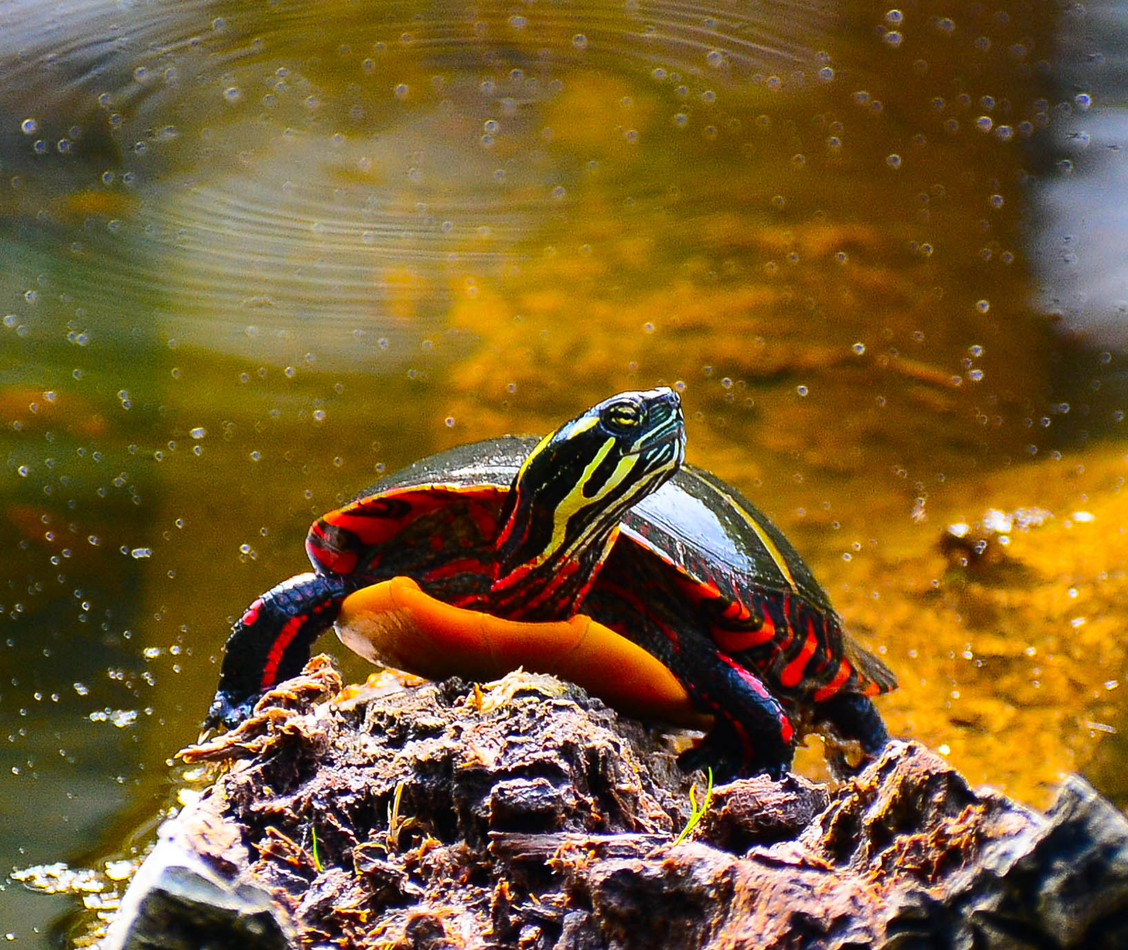 Northern painted turtles come out of estivation and vie for the best sunning logs.