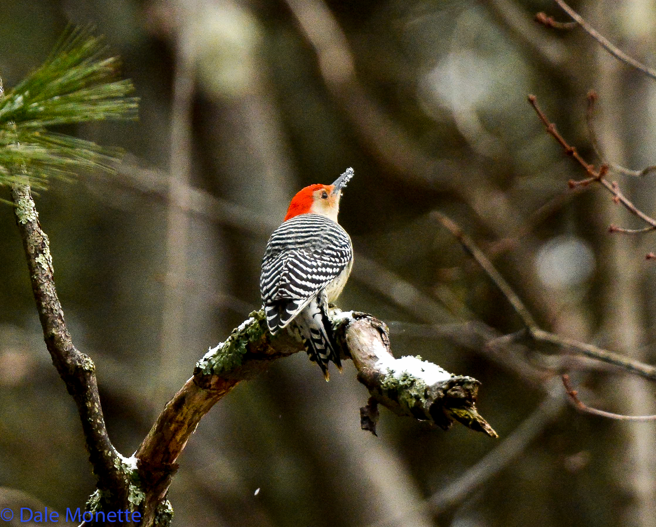 Red bellied woodpeckers are becoming more and more common in New England and can be seen at Quabbin.