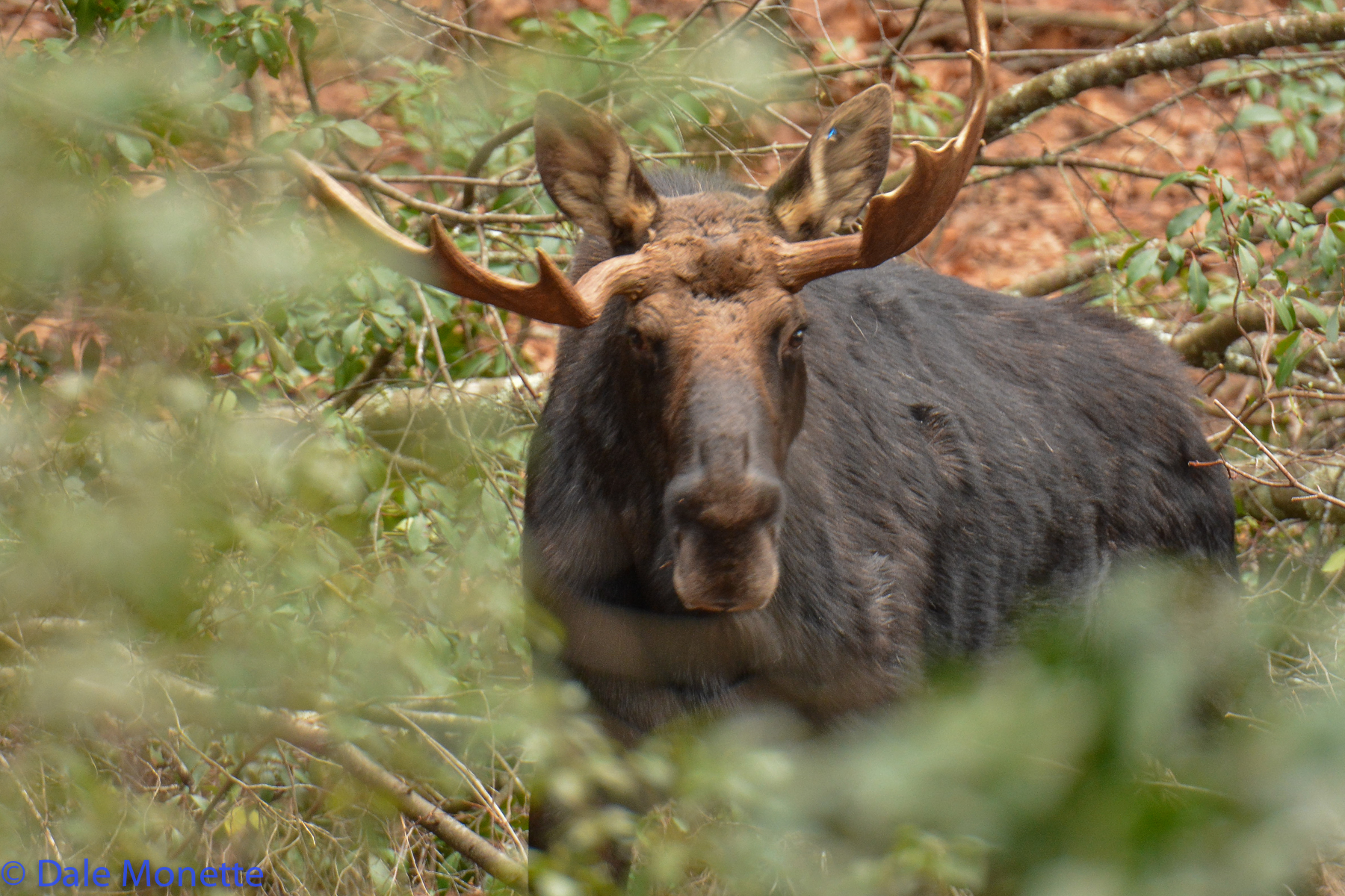 Another way to identify him is his antlers. They don't quite match do they?