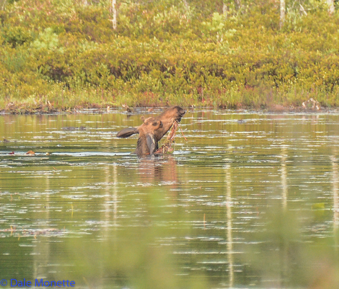 Here's a young bull in August working on some tasty pond lillies right up to his neck in a small beaver pond.