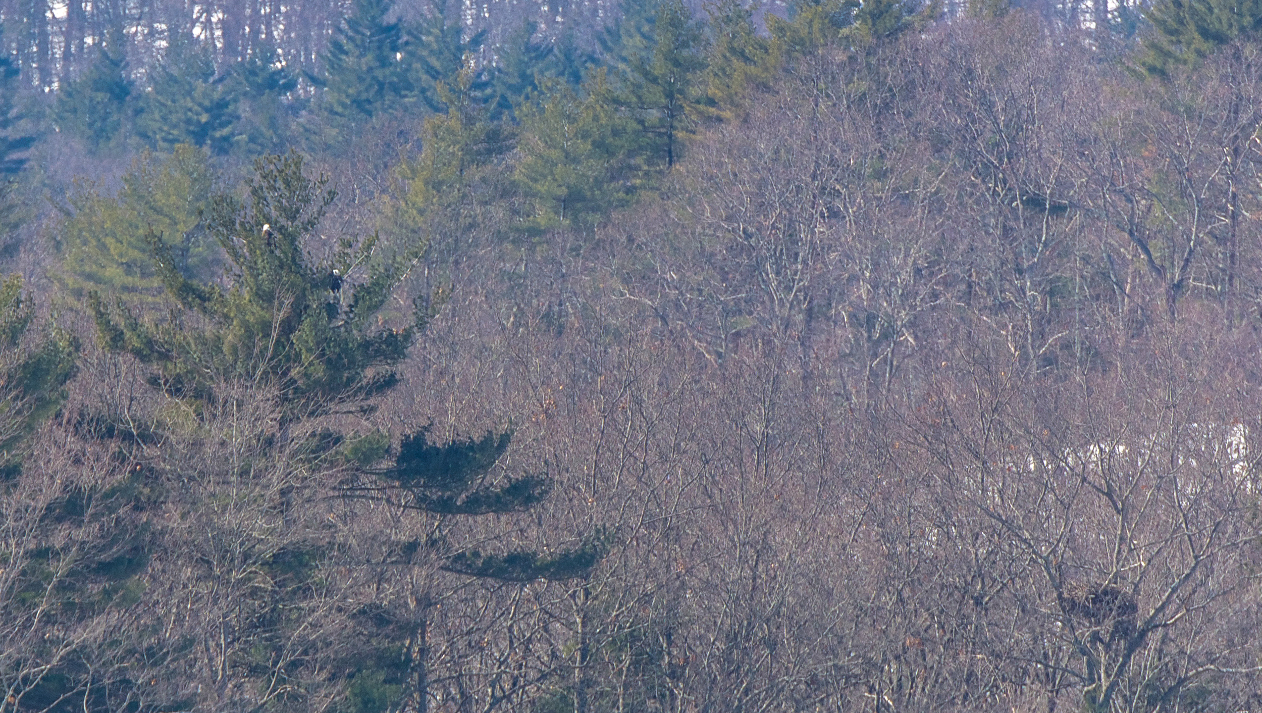In early March the Quabbin's bald eagle population get started working on their nests.