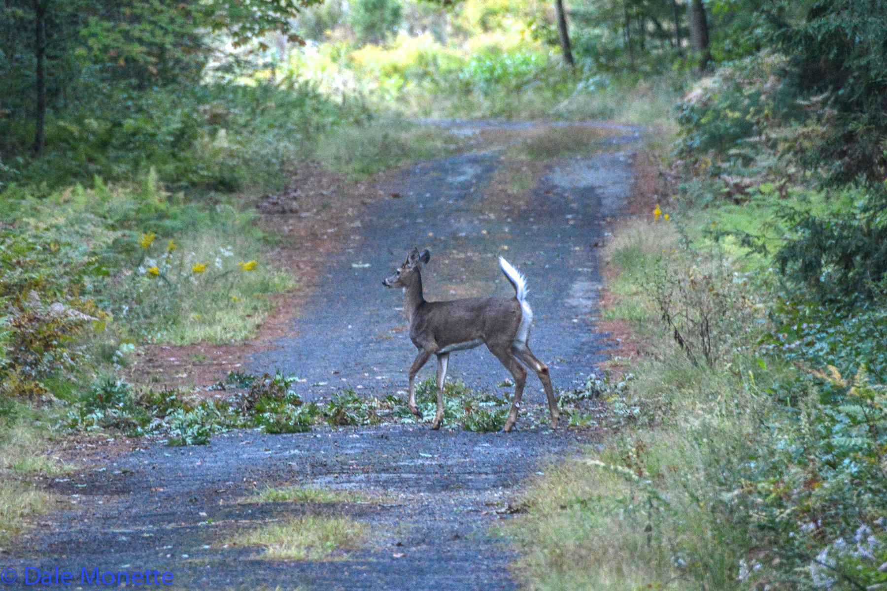 These twigs dropped in the road and made easy acorn eating for this young deer early in the morning.